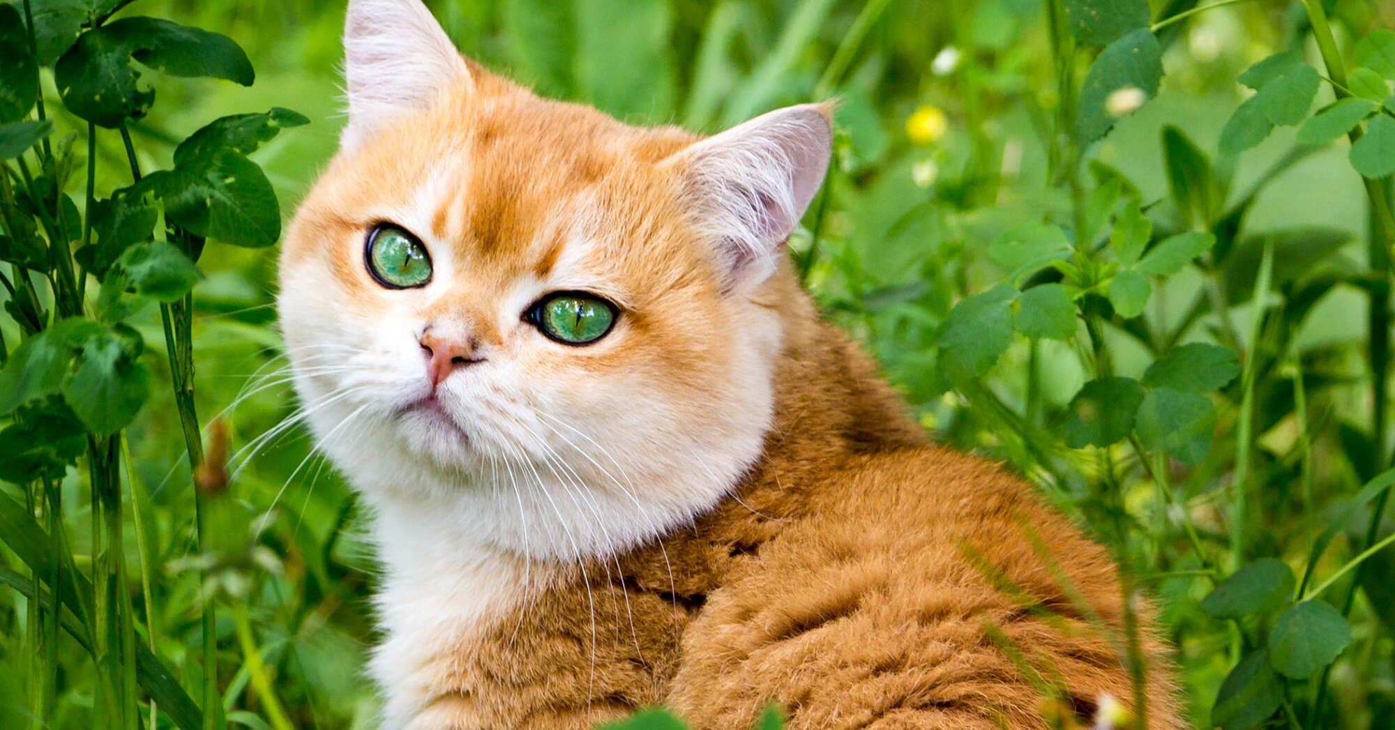 8 Orange Cat Breeds for Anyone Who Loves a Redhead
