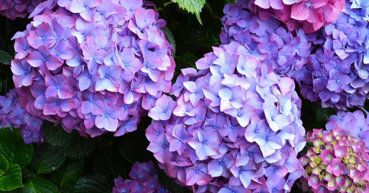 Five Mistakes You Re Making With Your Hydrangeas Martha Stewart