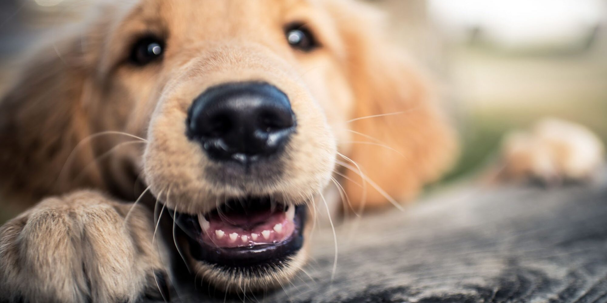 Hello New Teeth! What You Need to Know About Your Teething Puppy
