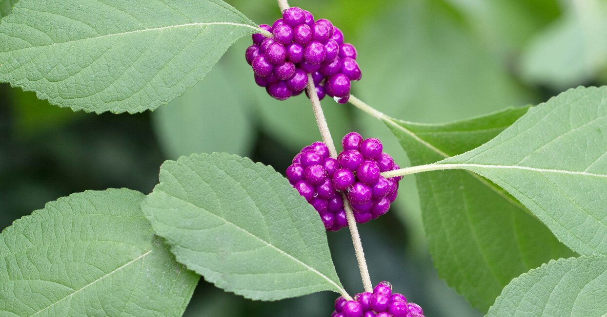 A Guide to the Most Beautiful Beautyberry Varieties