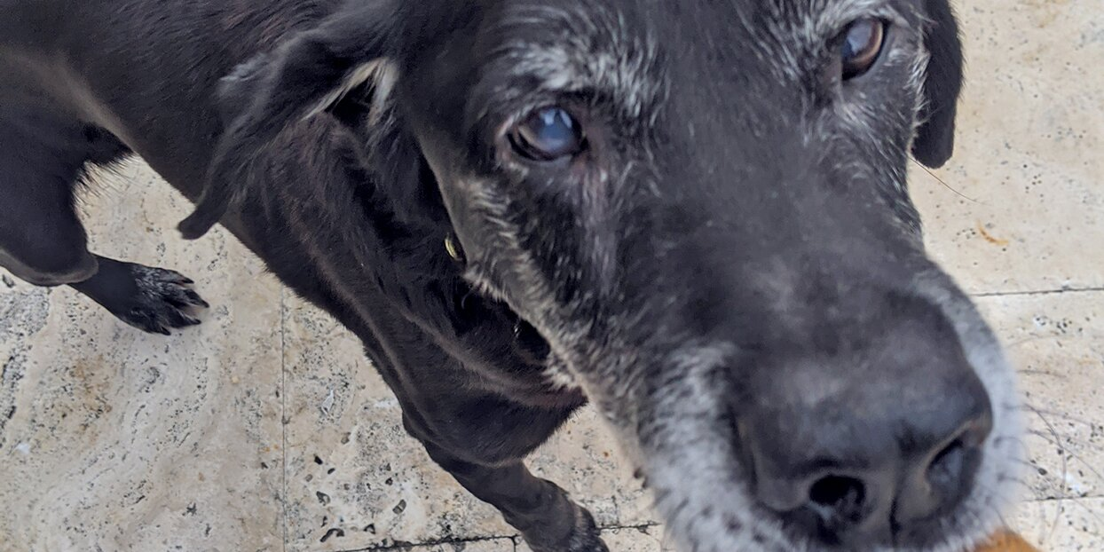 Dog's Foster Mom Ensures This Sweet Black Lab's Last Days Are Some of His Best