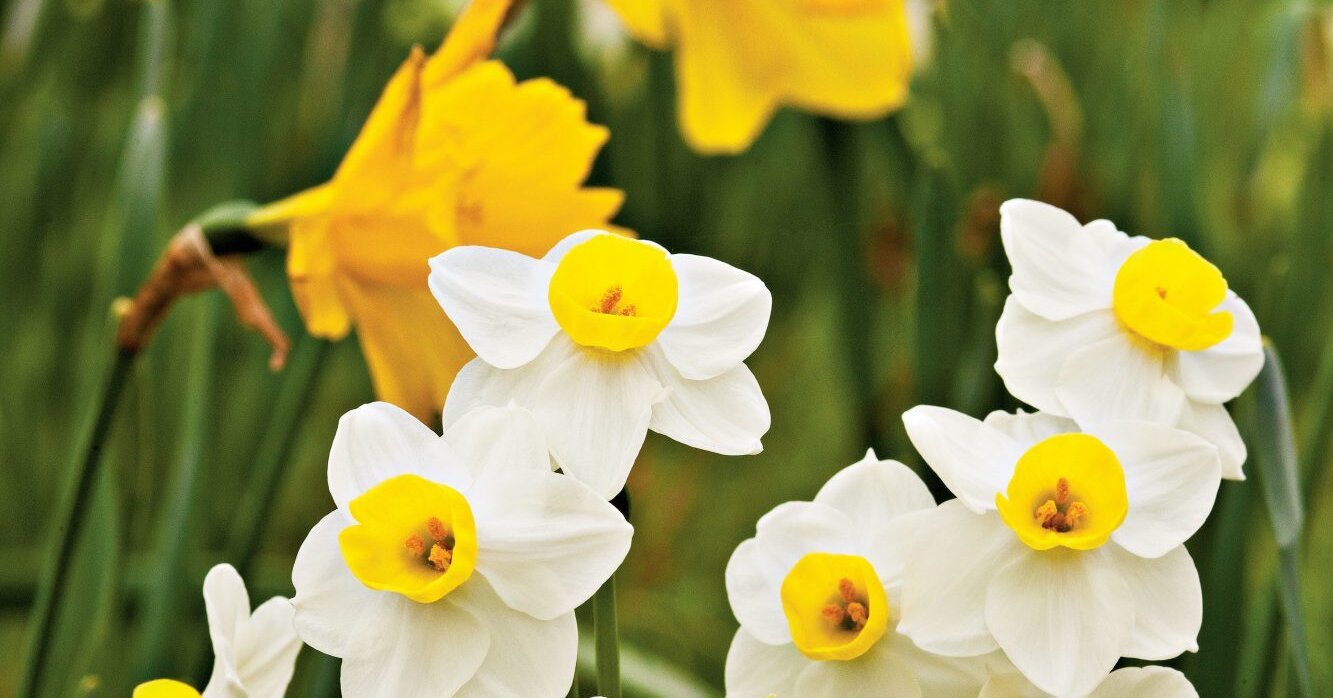 The Grumpy Gardener Says You Should Plant Your Daffodils at Thanksgiving