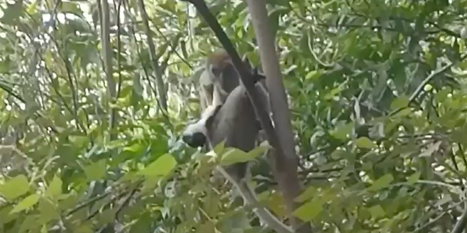 Puppy Grabbed and Taken Up Electricity Pole By Monkey in Malaysia Is Rescued After 3-Day Effort