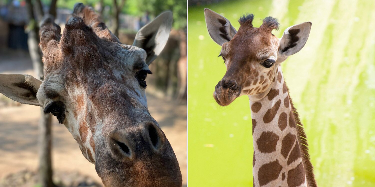 Dallas Zoo Mourns the Death of Adult Giraffe Weeks After Losing Baby Giraffe to Serious Injury