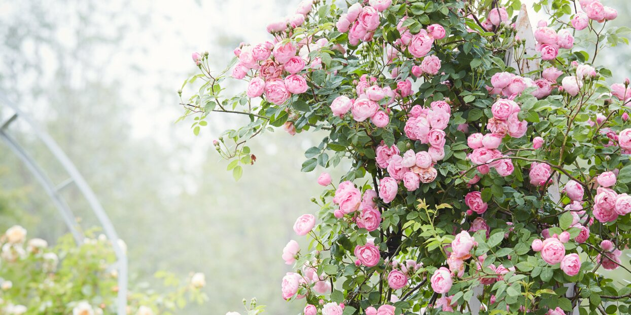 How to Revive a Rose Bush That Is Partially Dead