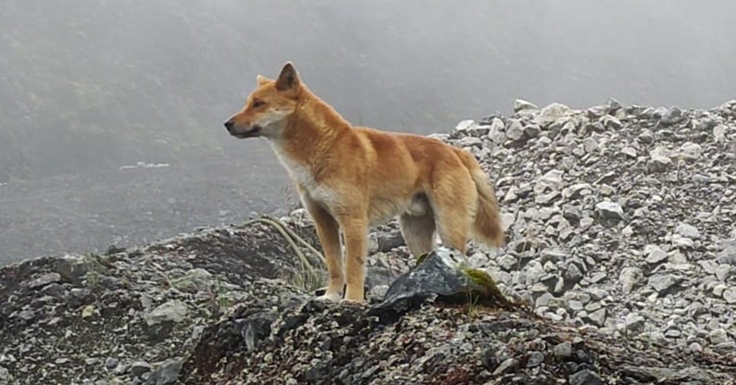 Rare Singing Dog Species, Thought To Be Extinct for 50 Years, Lives On in the Wild