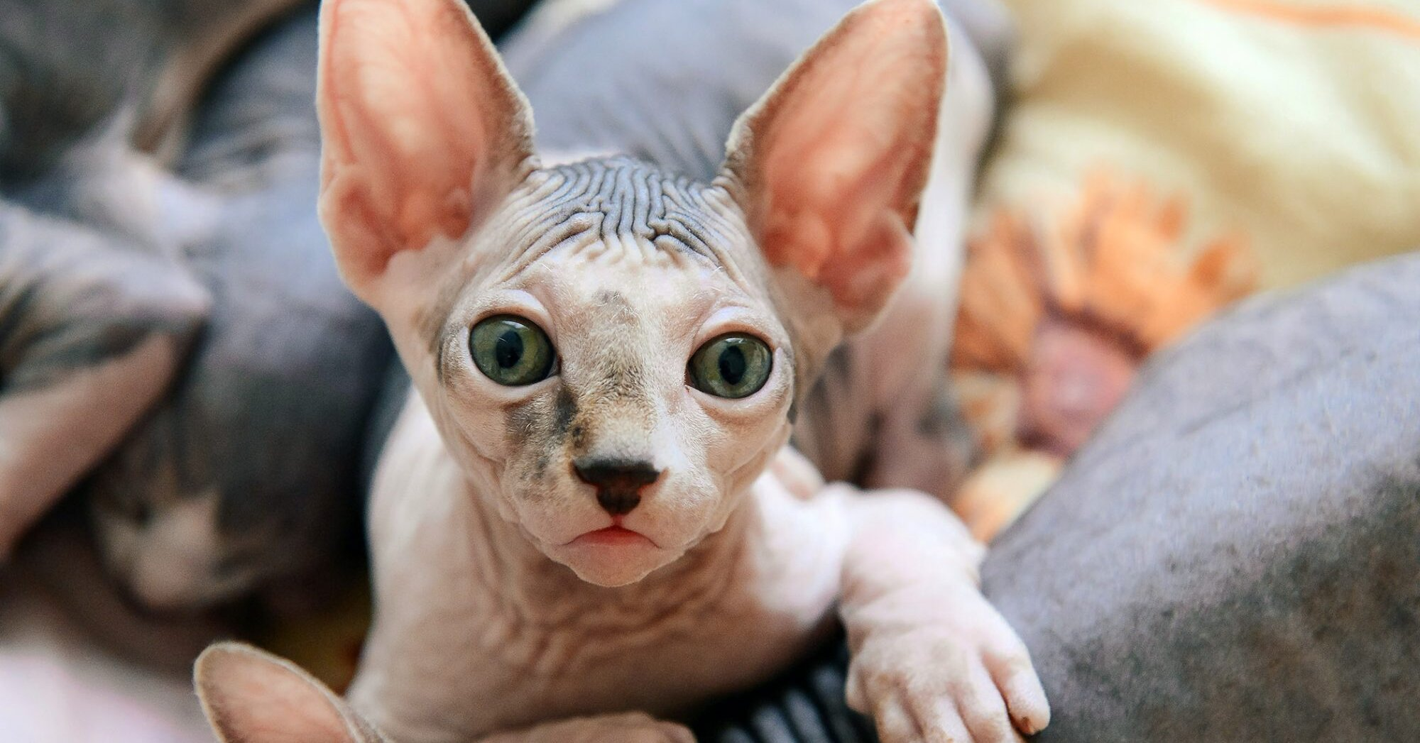 What You Should Know About Hairless Cat Breeds