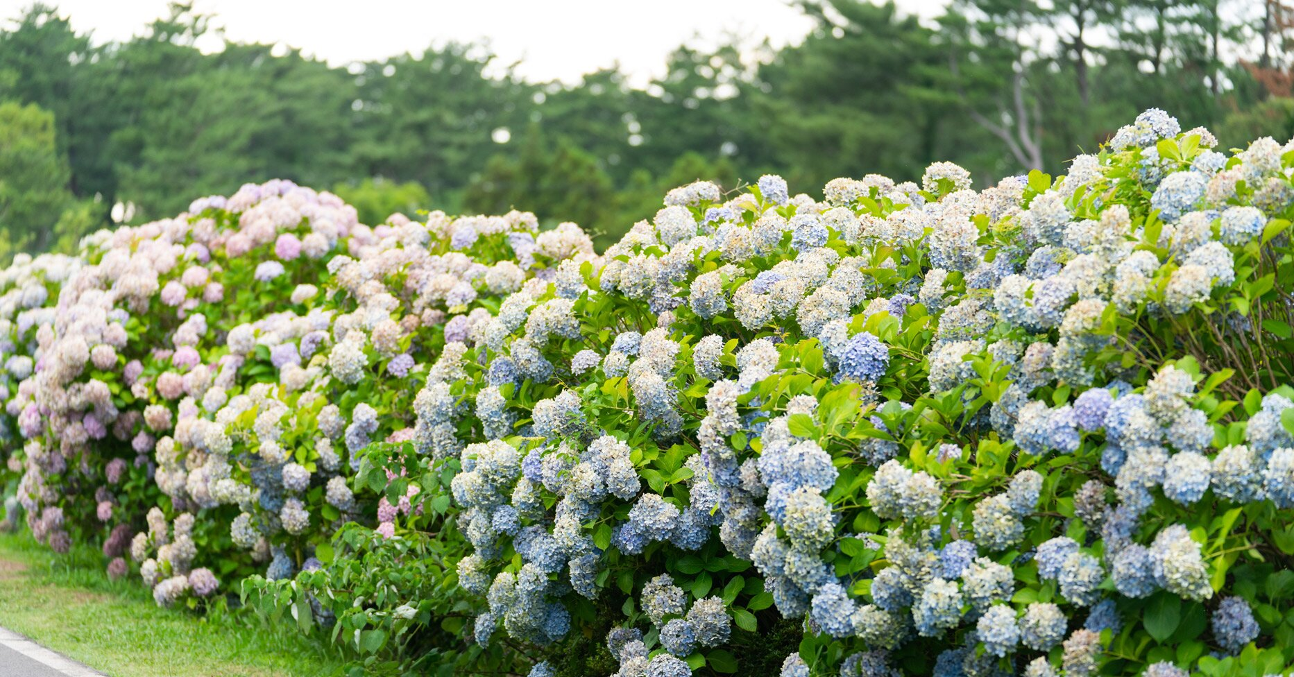 How and When to Deadhead Hydrangeas to Keep Them Blooming All Summer Long