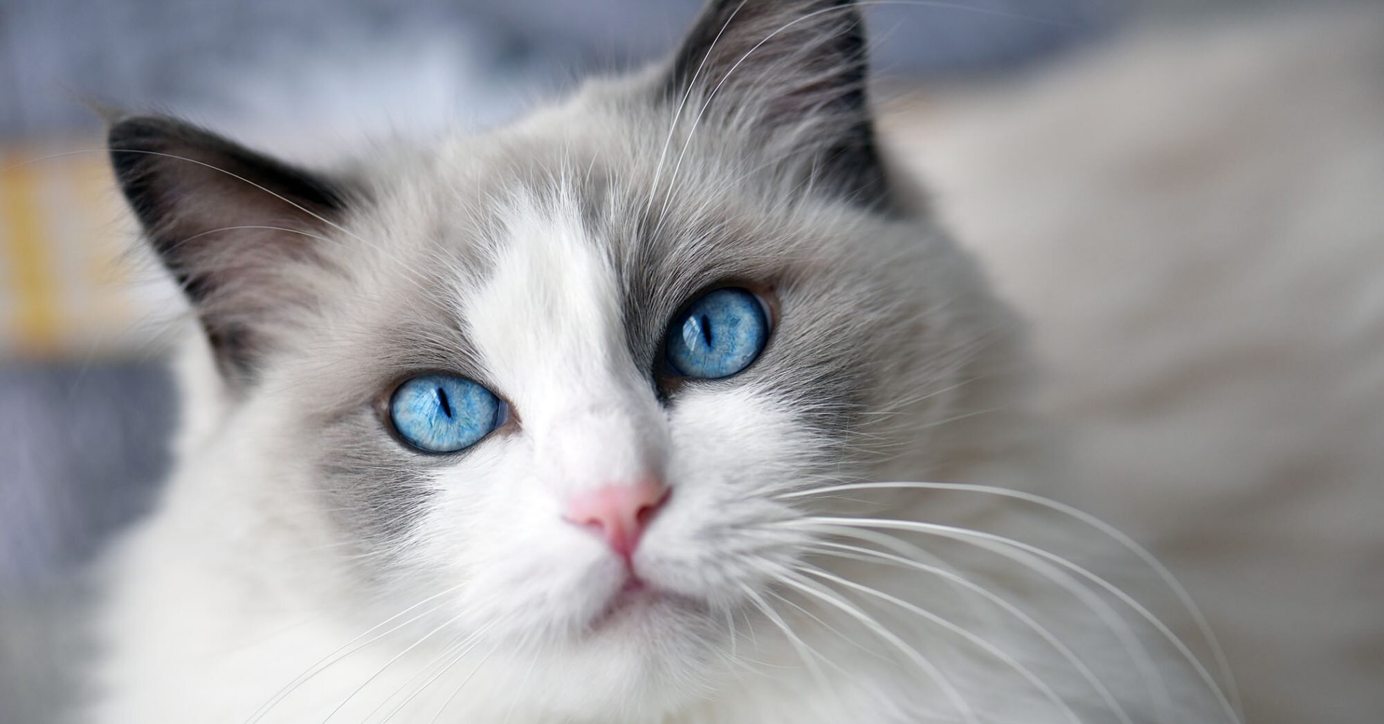 17 Long-Haired Cat Breeds to Swoon Over