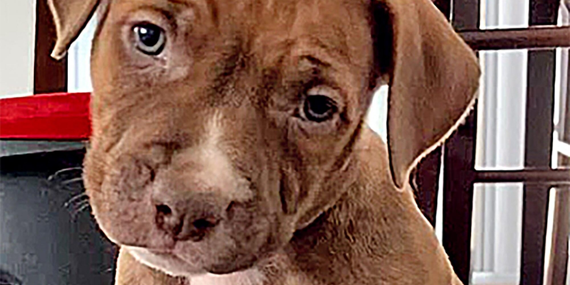Mama Pit Bull Leads Shelter To 4 Lost Pups