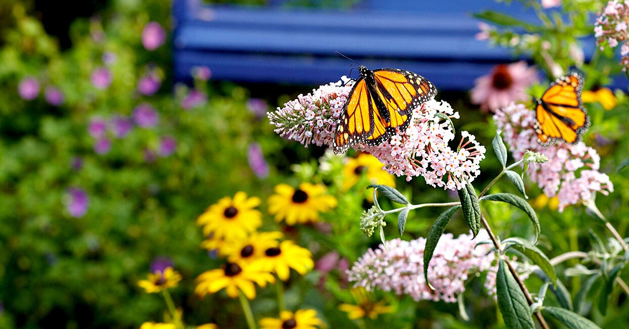 Monarch Butterfly Essentials To Add To Your Garden Better Homes