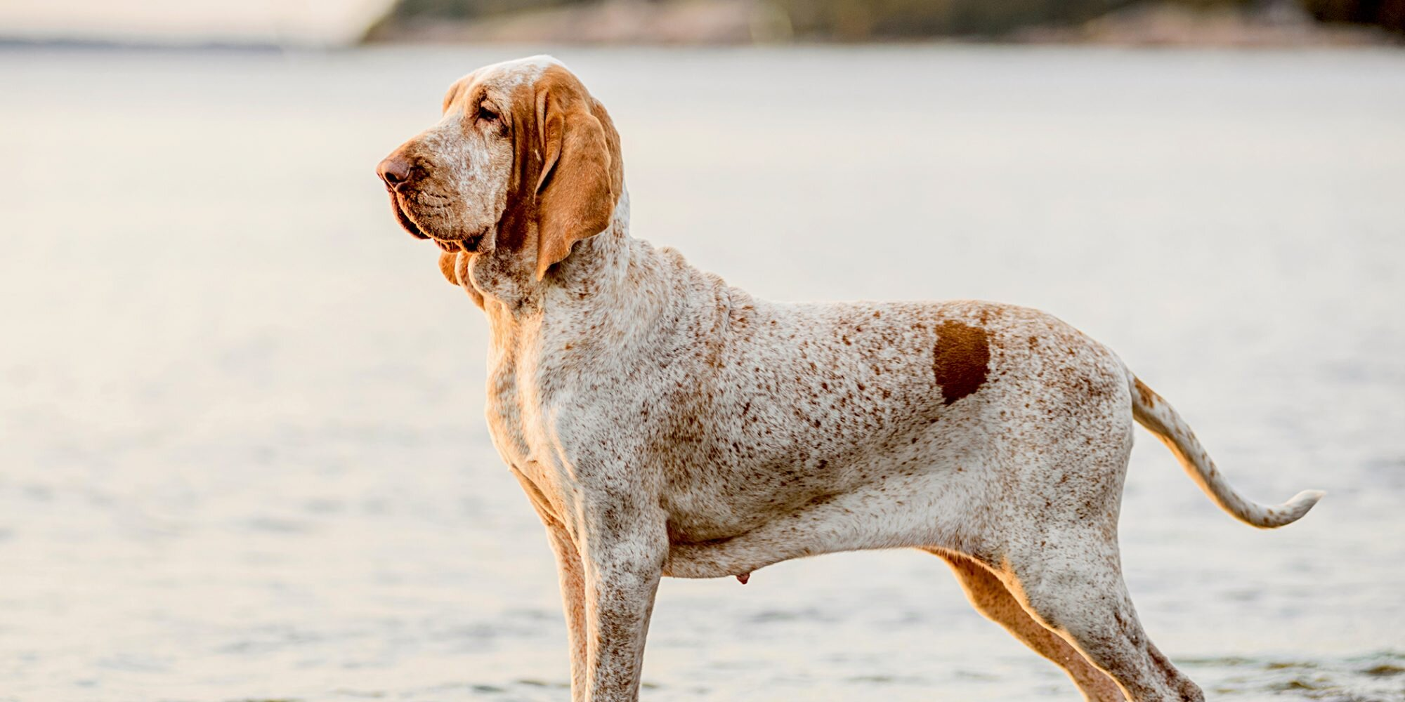 """11 Italian Dog Breeds That Will Have You Singing """"That's Amore"""""""
