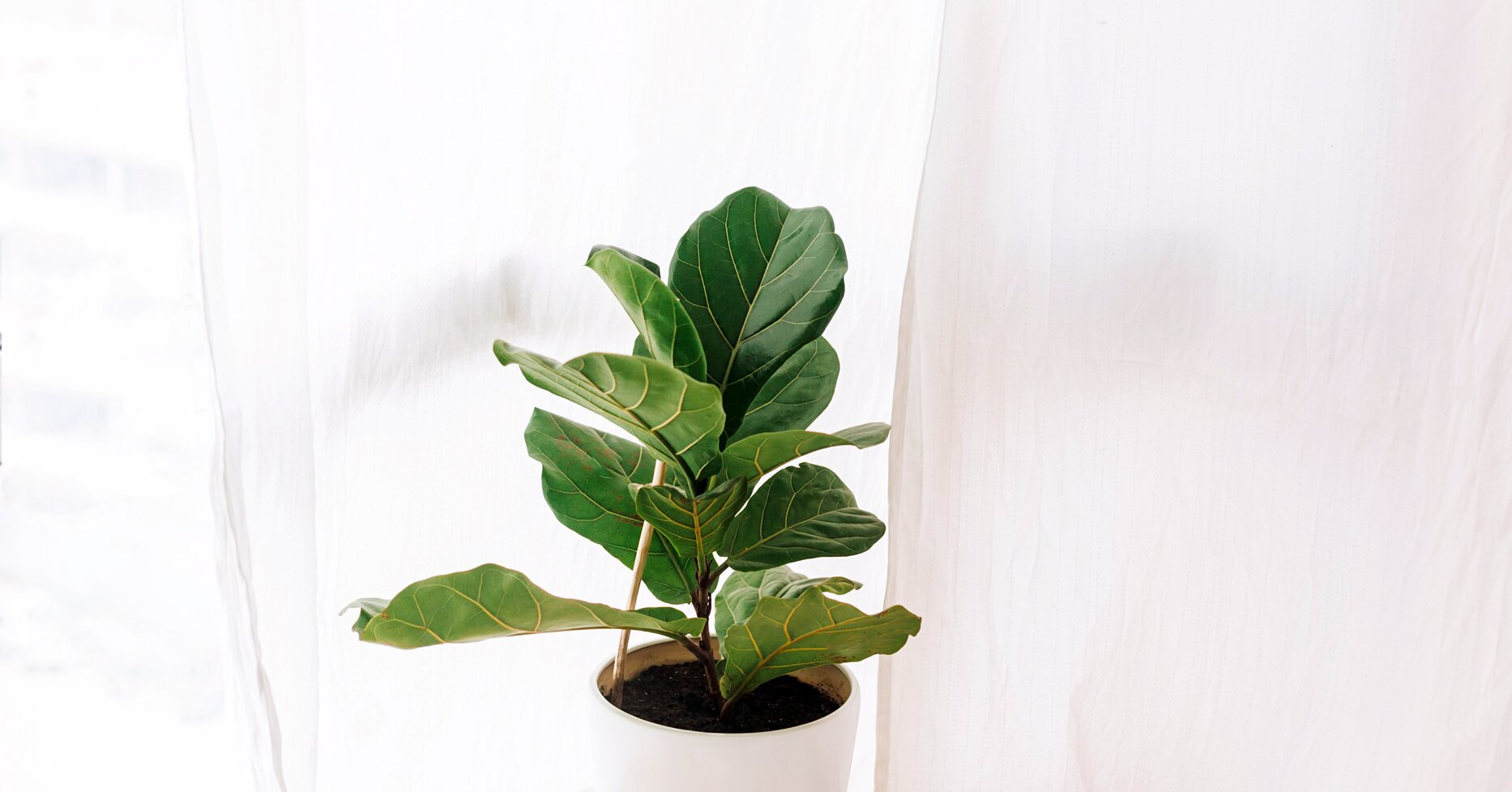 Fiddle Leaf Figs Are One of the Most Popular Houseplants—Here's How to Care for Yours