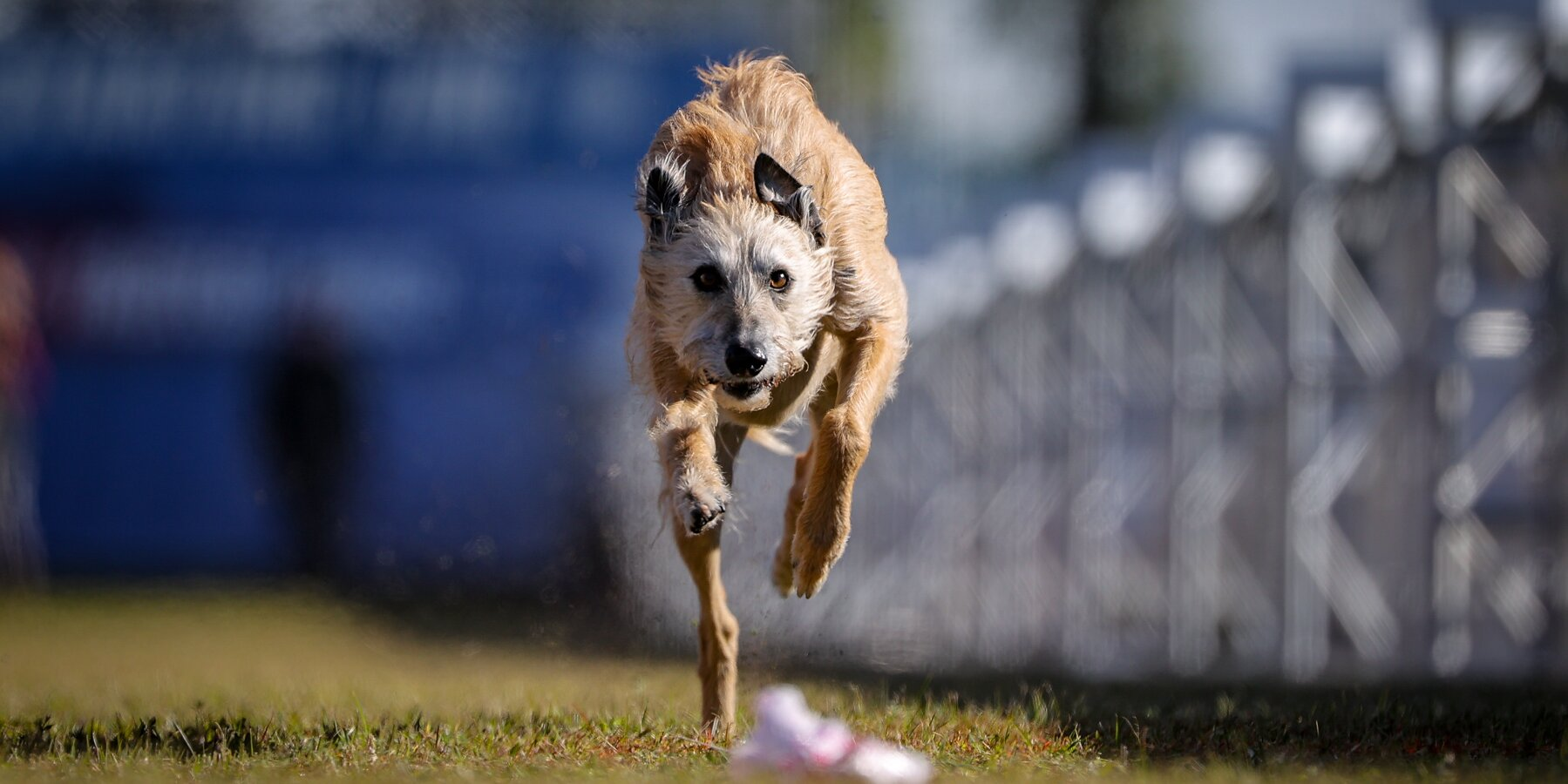 Rescue Pup Beats Out Famously Fast Purebreds in AKC's Fastest Dog USA Race