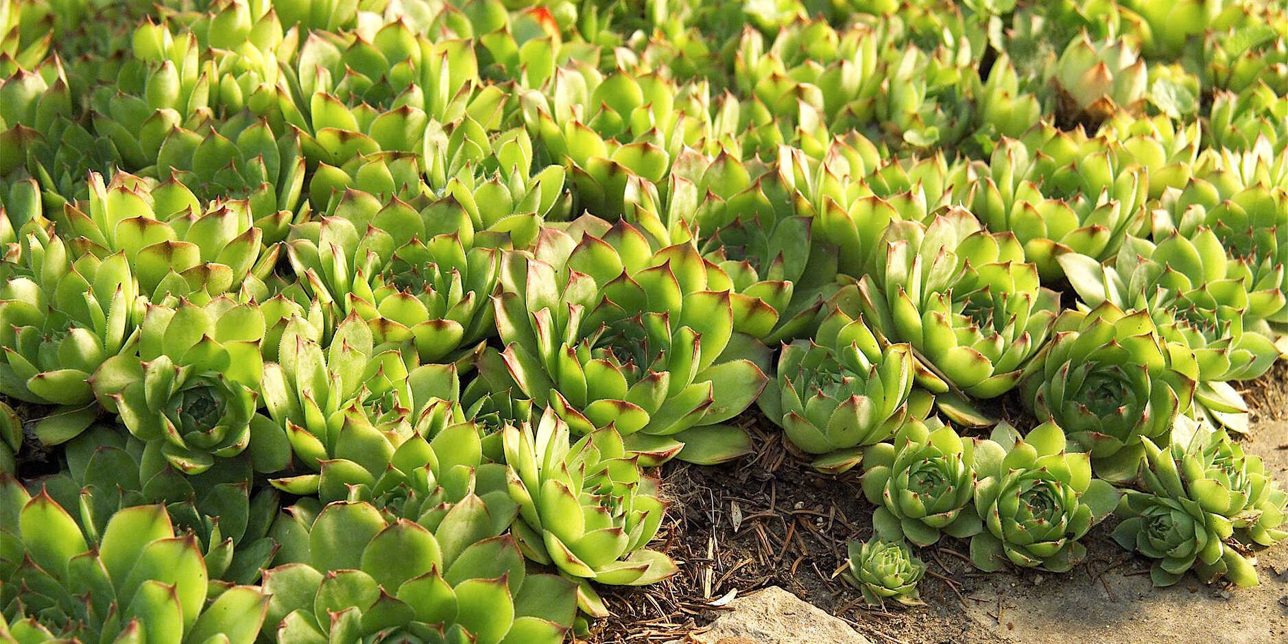 Tough Groundcovers That Thrive In Drought Shade And Other Difficult Spots Better Homes Gardens
