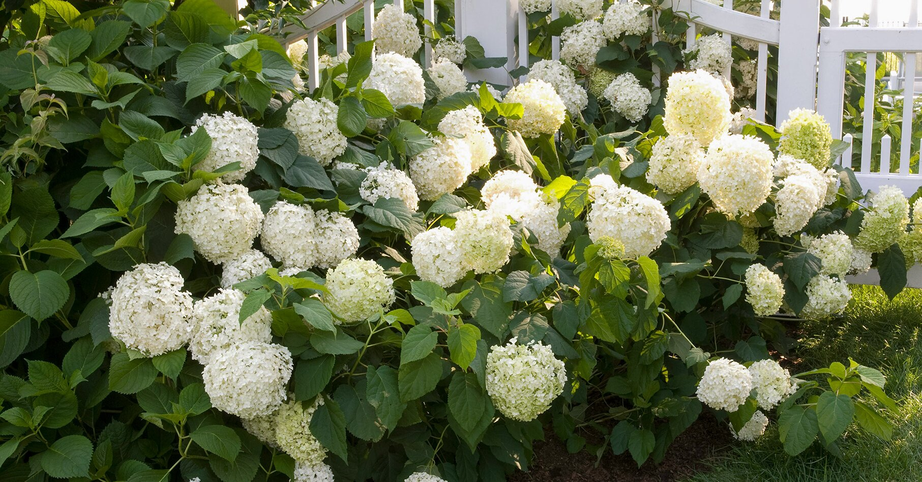 How To Get More Hydrangea Flowers Better Homes Gardens