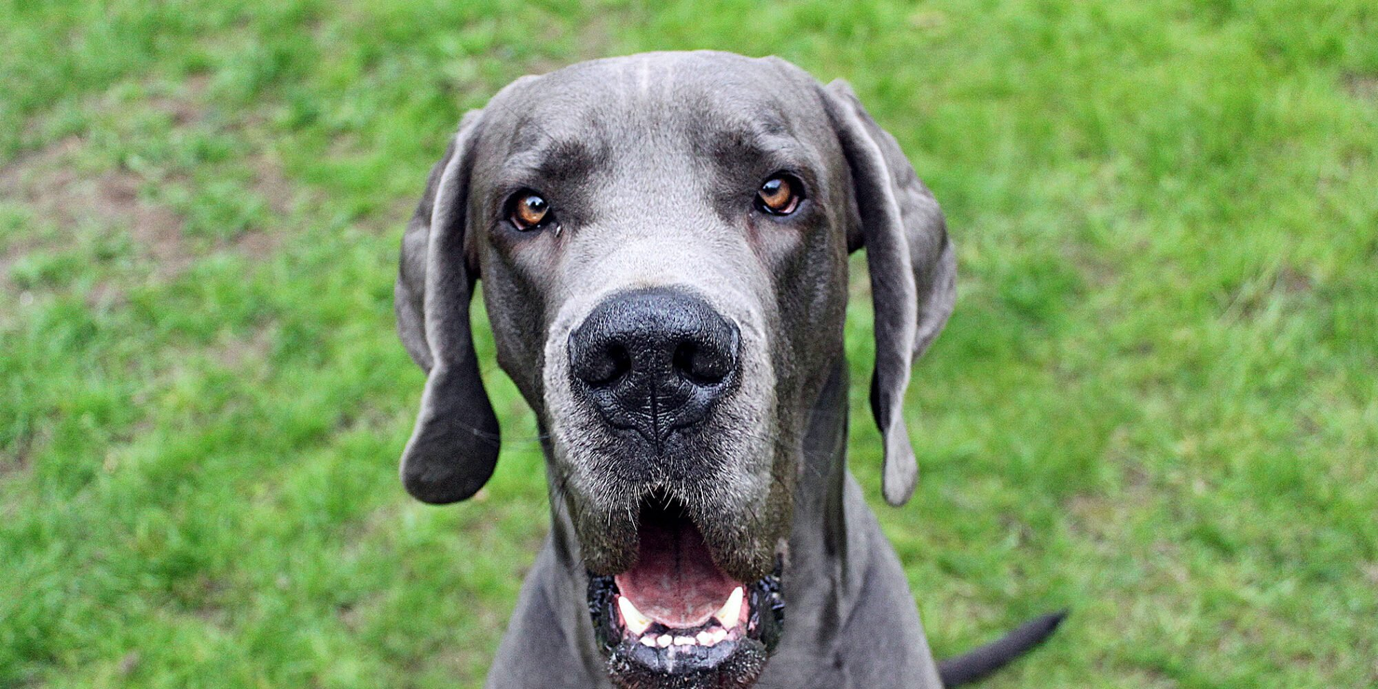 This Elderly Great Dane Had Seemingly Vanished Before Rescuers Finally Came to Her Aid