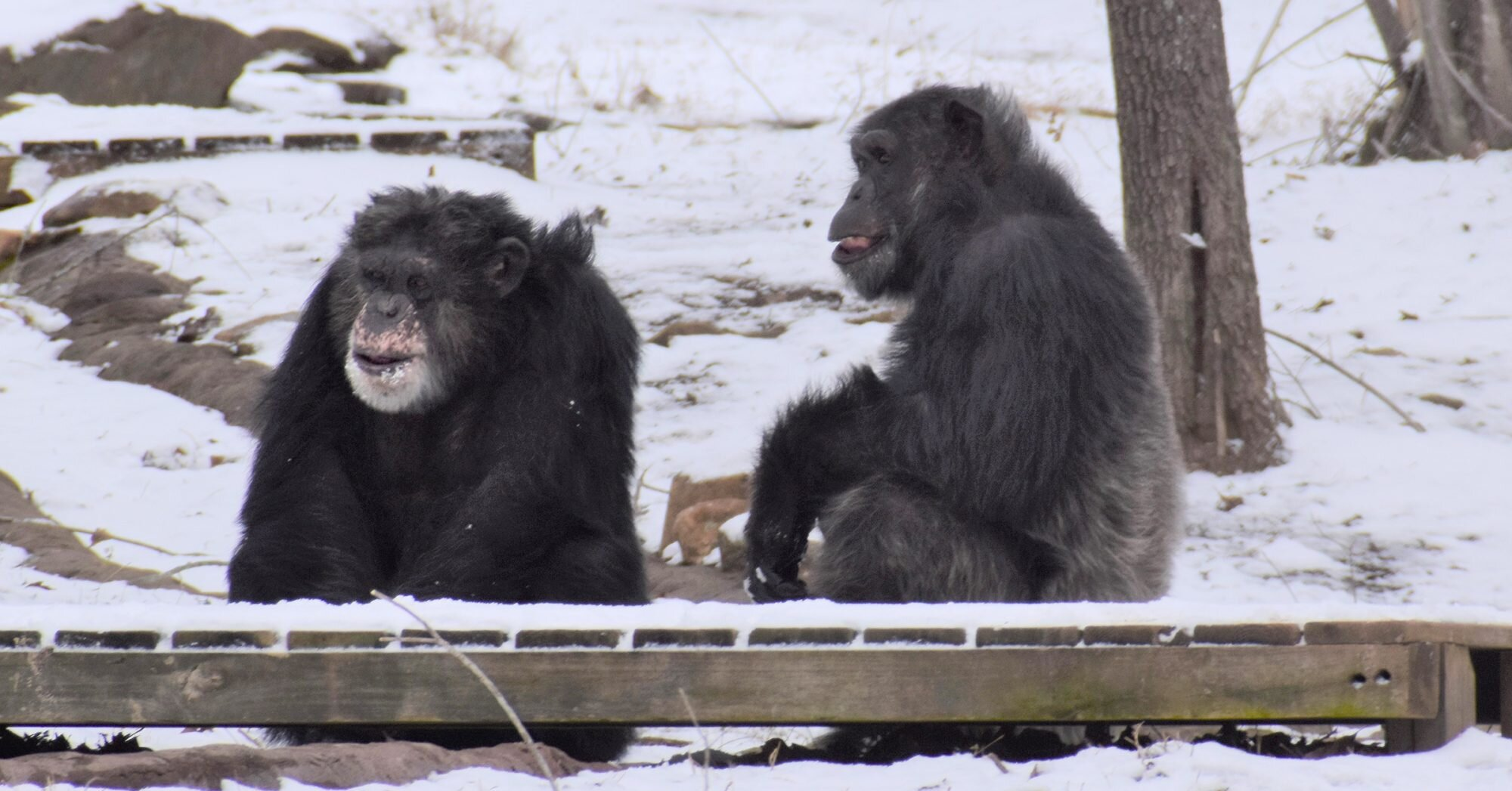 Playful Chimps at Georgia Sanctuary Enjoy the First Snowfall of the Season — See the Pictures!