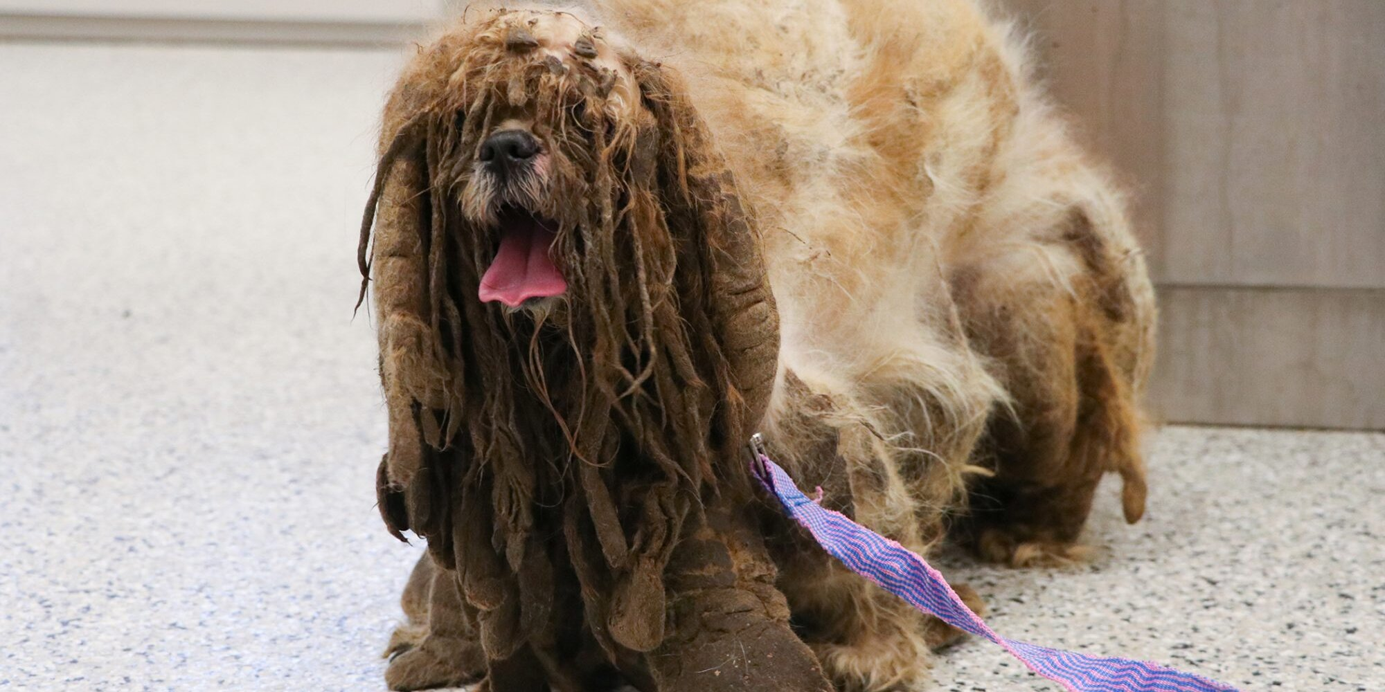 This Severely Matted Shih Tzu Underwent the Transformation of a Lifetime