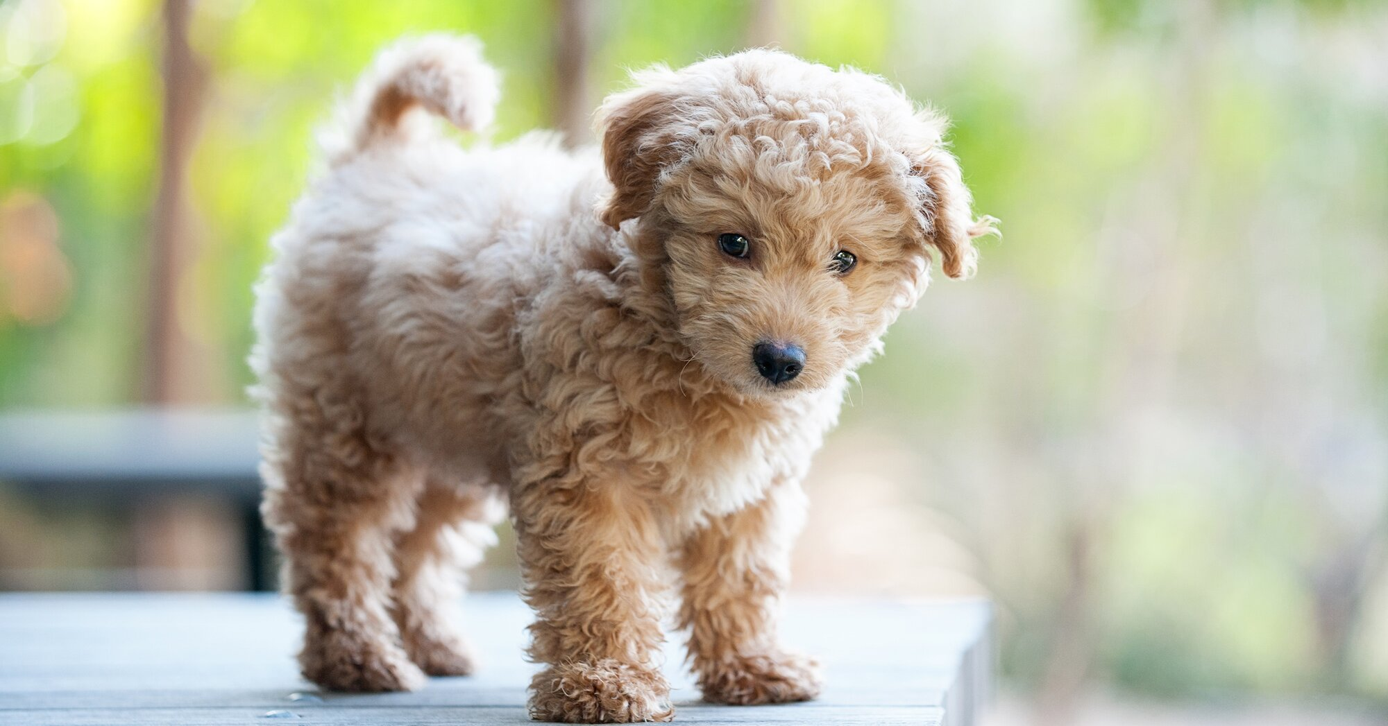 Dog Breeds That Look Like Puppies At