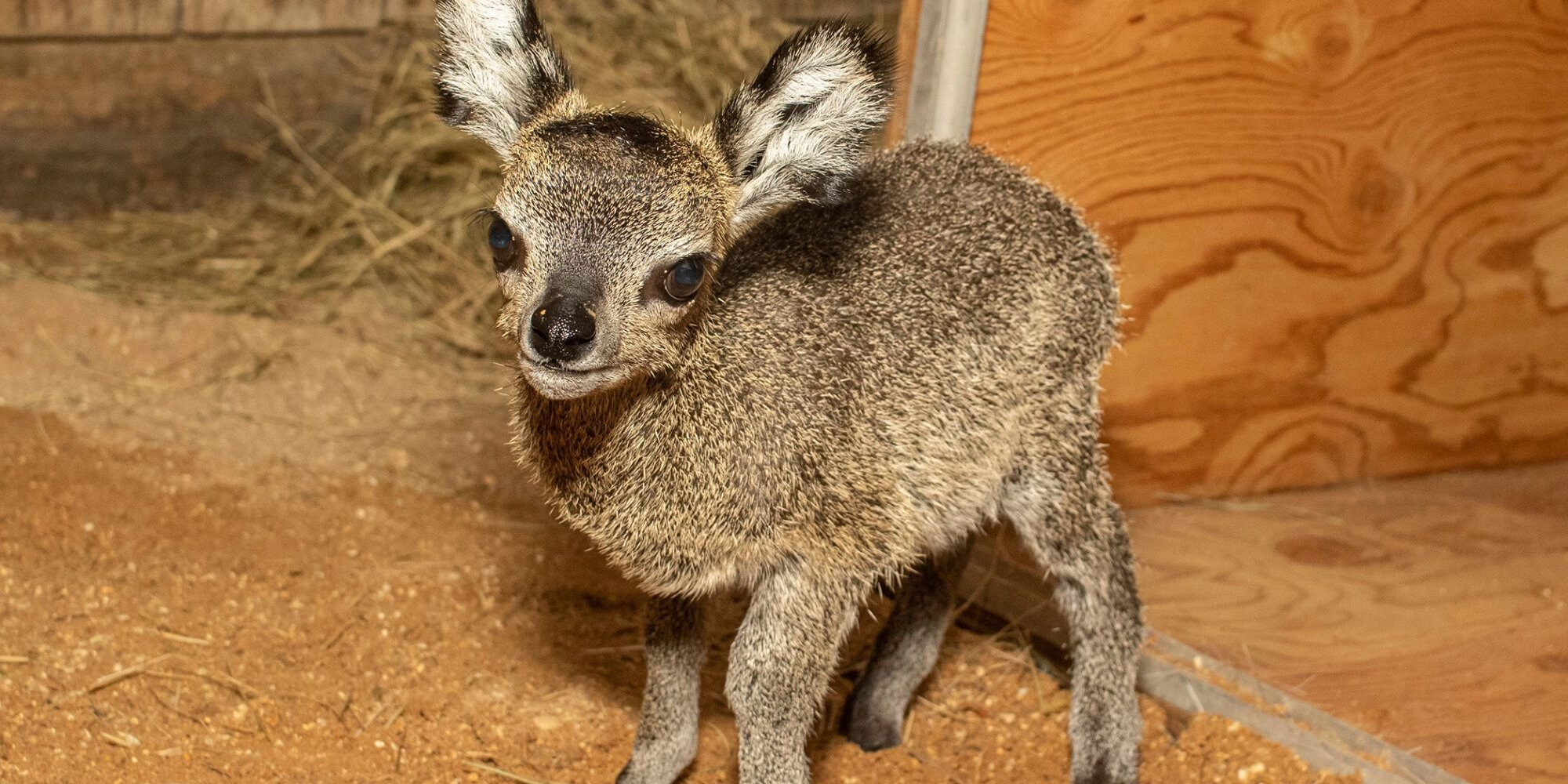 Meet the Cutest Lil' Baby Antelope You've Ever Seen