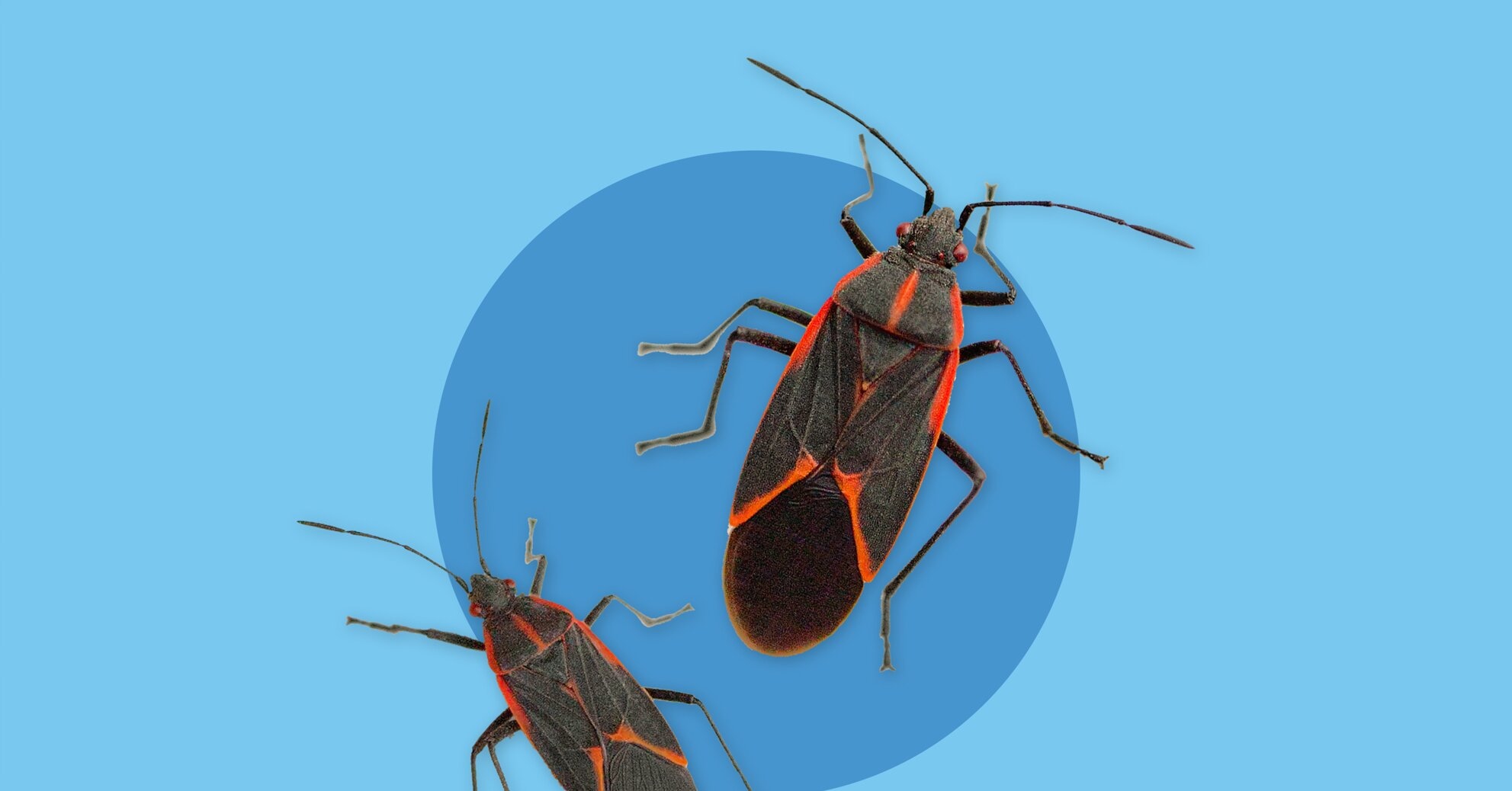 5 Things You Didn't Know About Boxelder Bugs—And How to Get Rid of Them