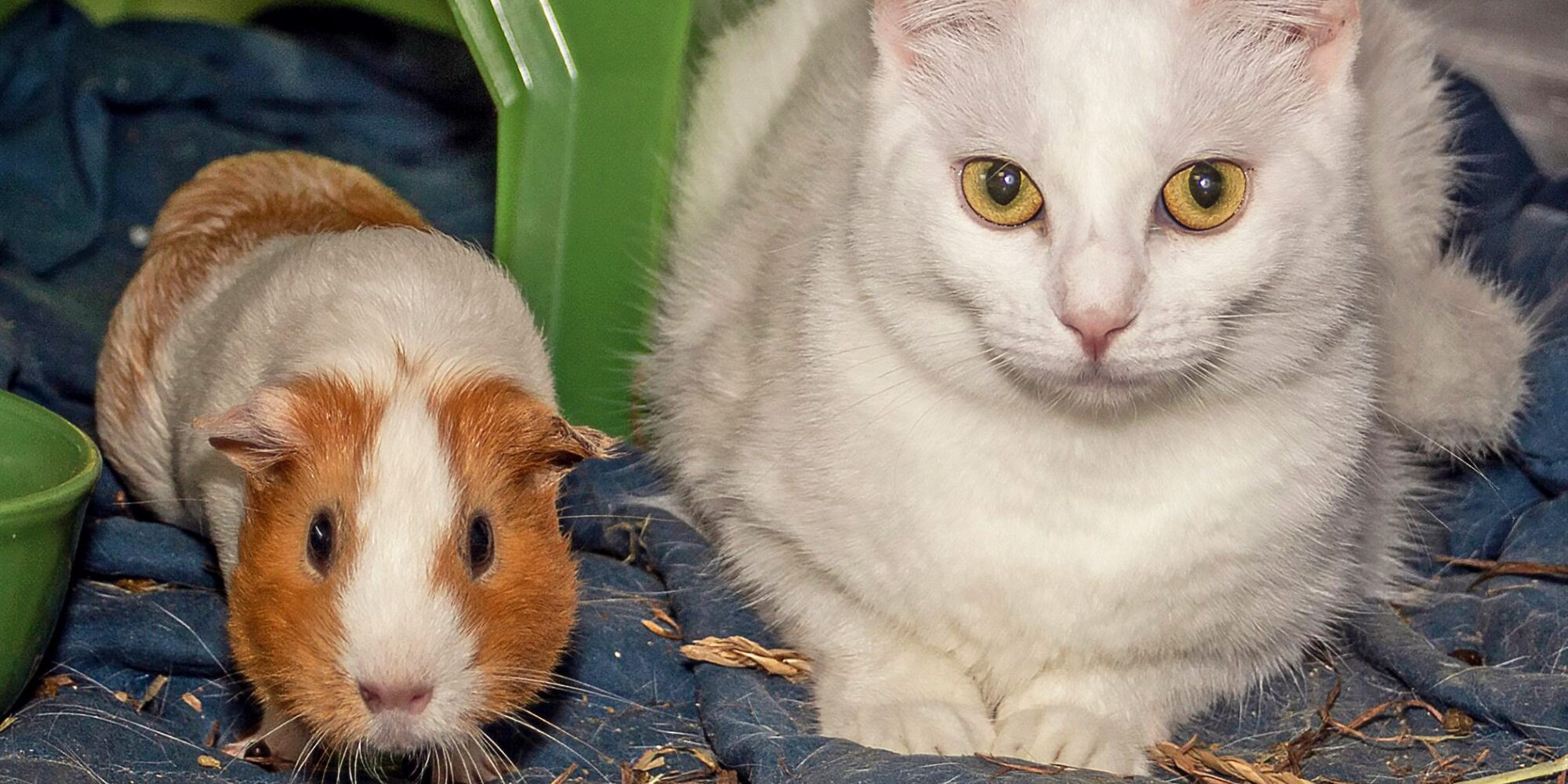 Cat and Guinea Pig Besties Were Surrendered Together—But Now They Have a New Forever Home!