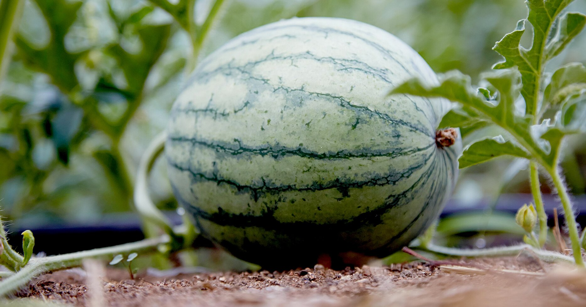 How to Grow the Sweetest, Juiciest Watermelons for the Perfect Summer Treat