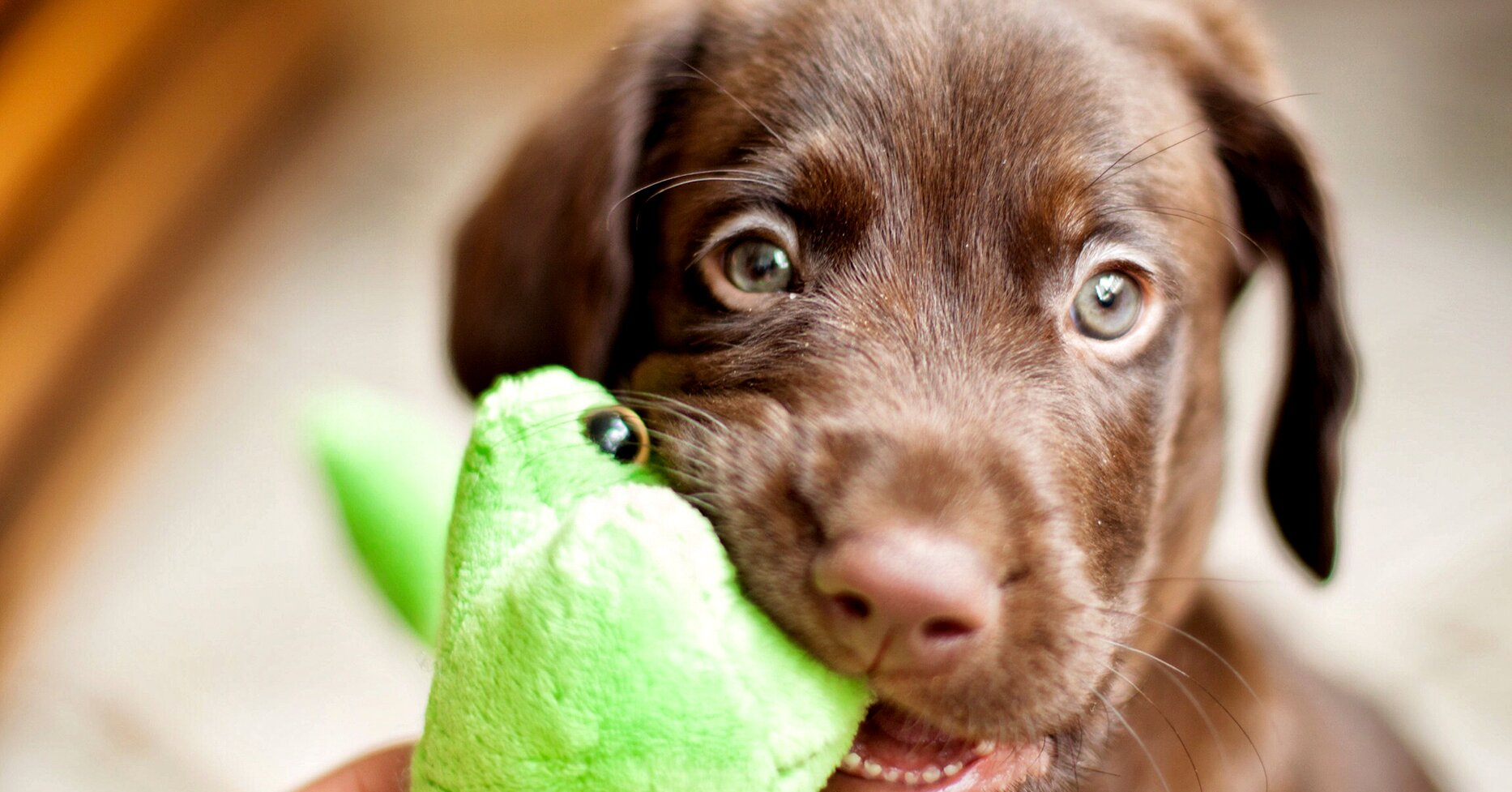 What to Know About Your Teething Puppy
