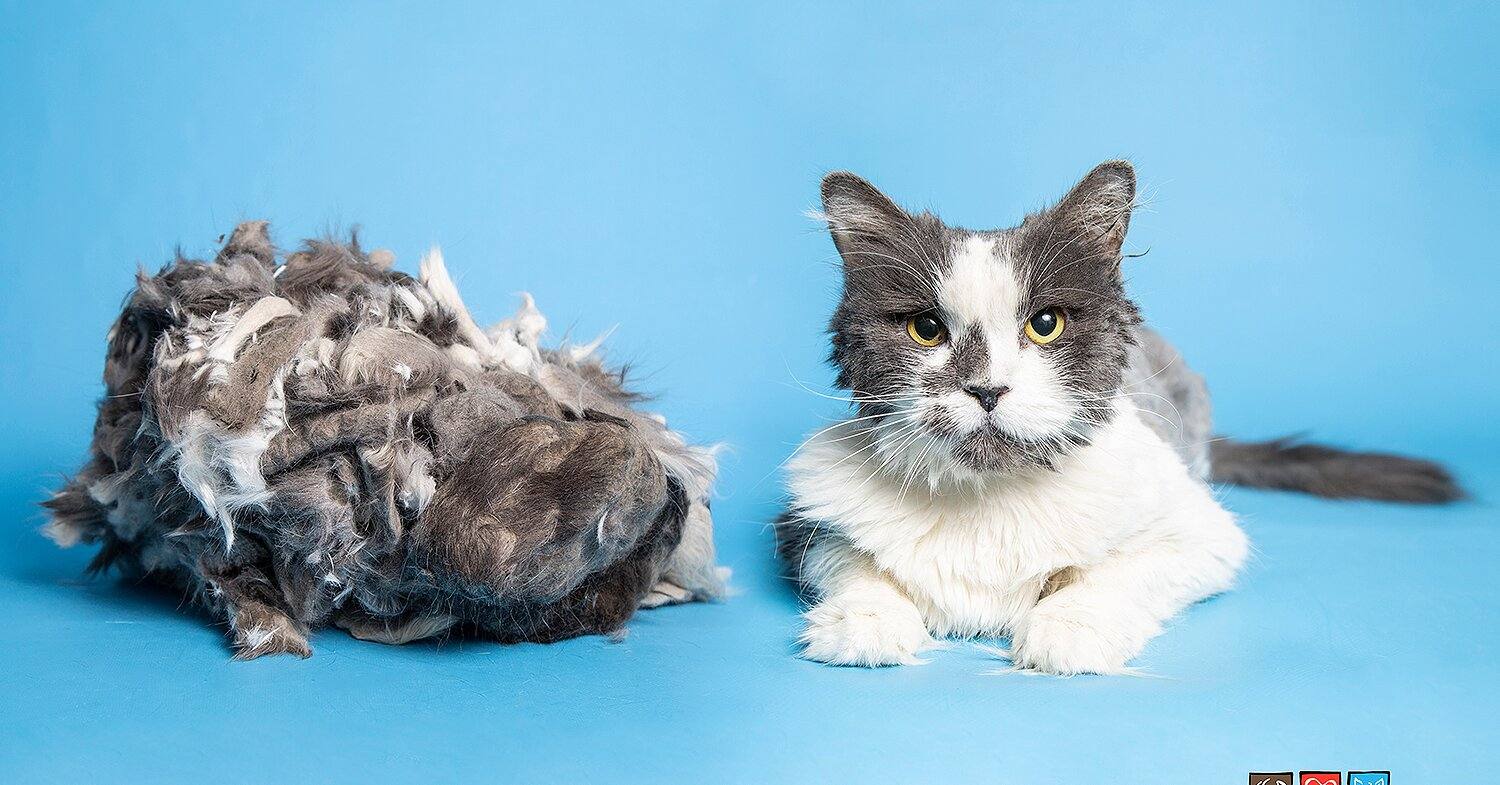 Arizona Cat Has 2 Lbs. of Matted Fur Removed in Stunning Makeover — and Finds a New Home!
