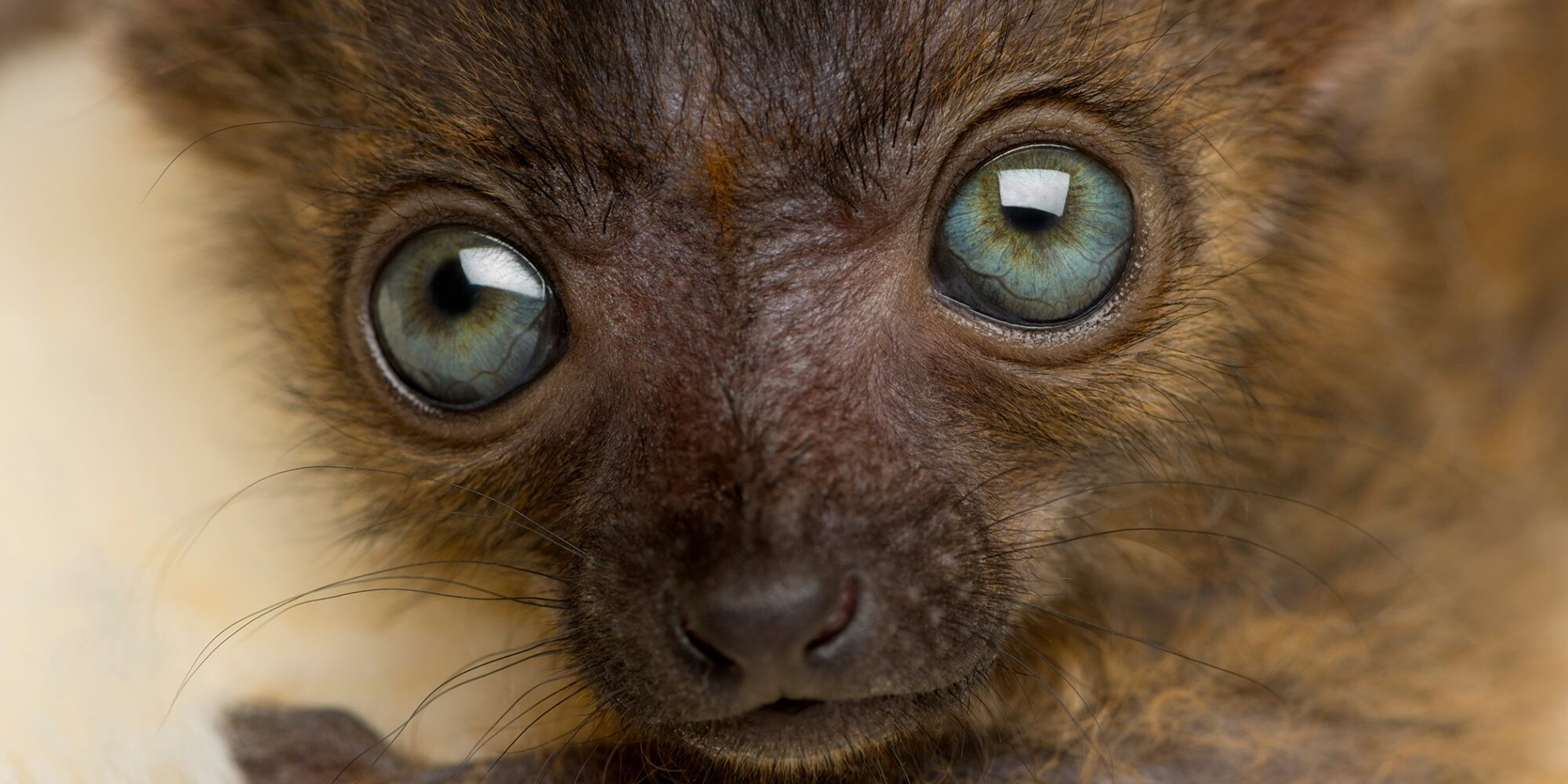 Seattle Zoo Welcomes Adorable New Baby Lemurs