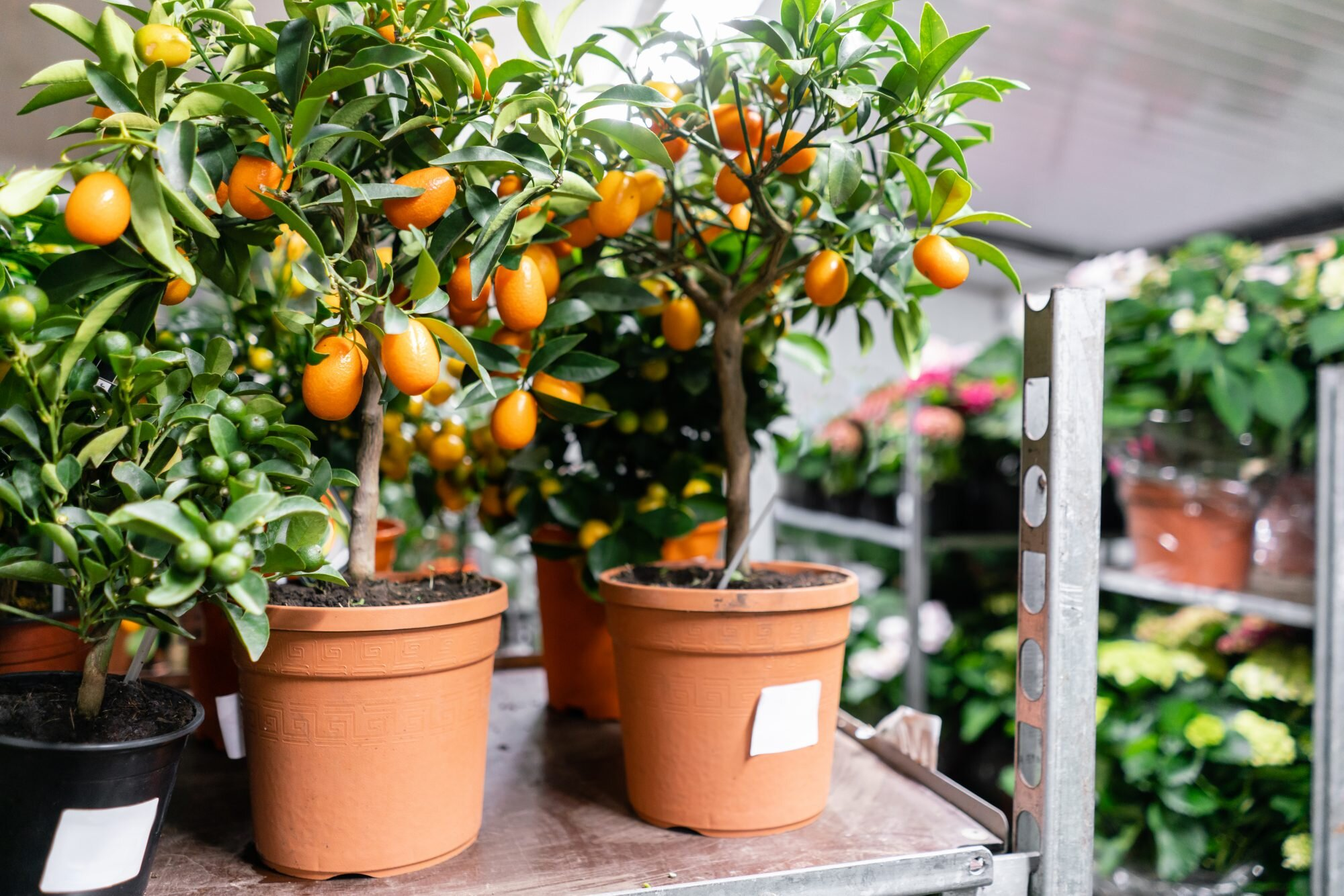 How to Create an Indoor Orchard with (Easy-to-Grow) Miniature Fruit Trees