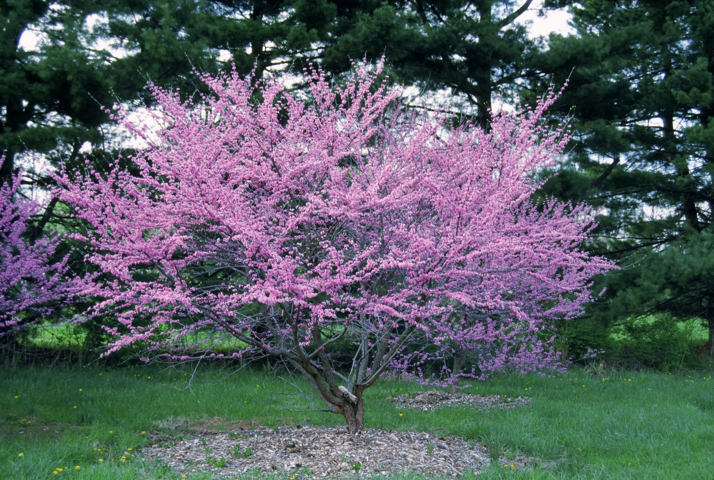 Redbud Cercis Southern Living Southern Living