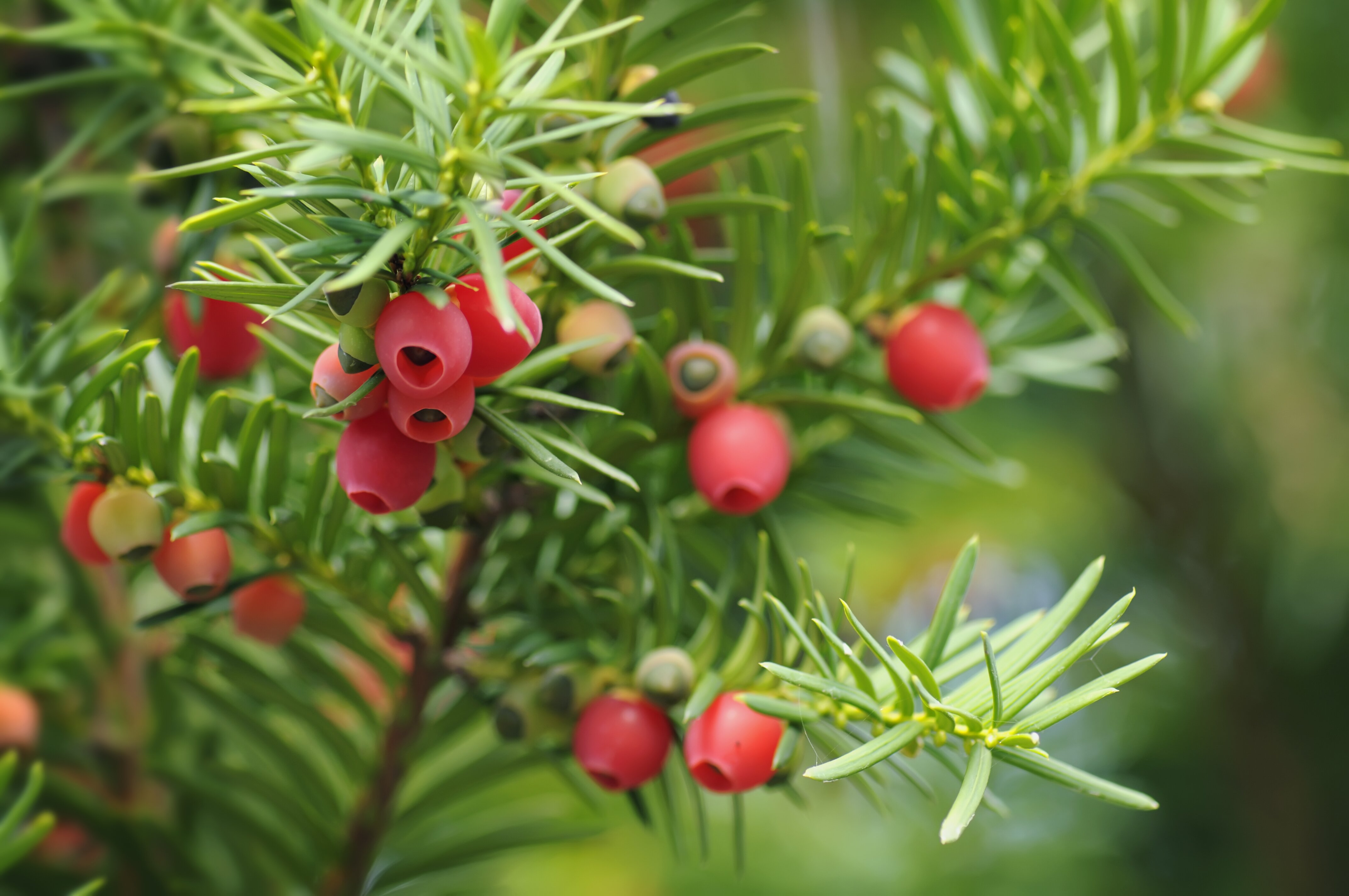 Yew Taxus Southern Living Southern Living