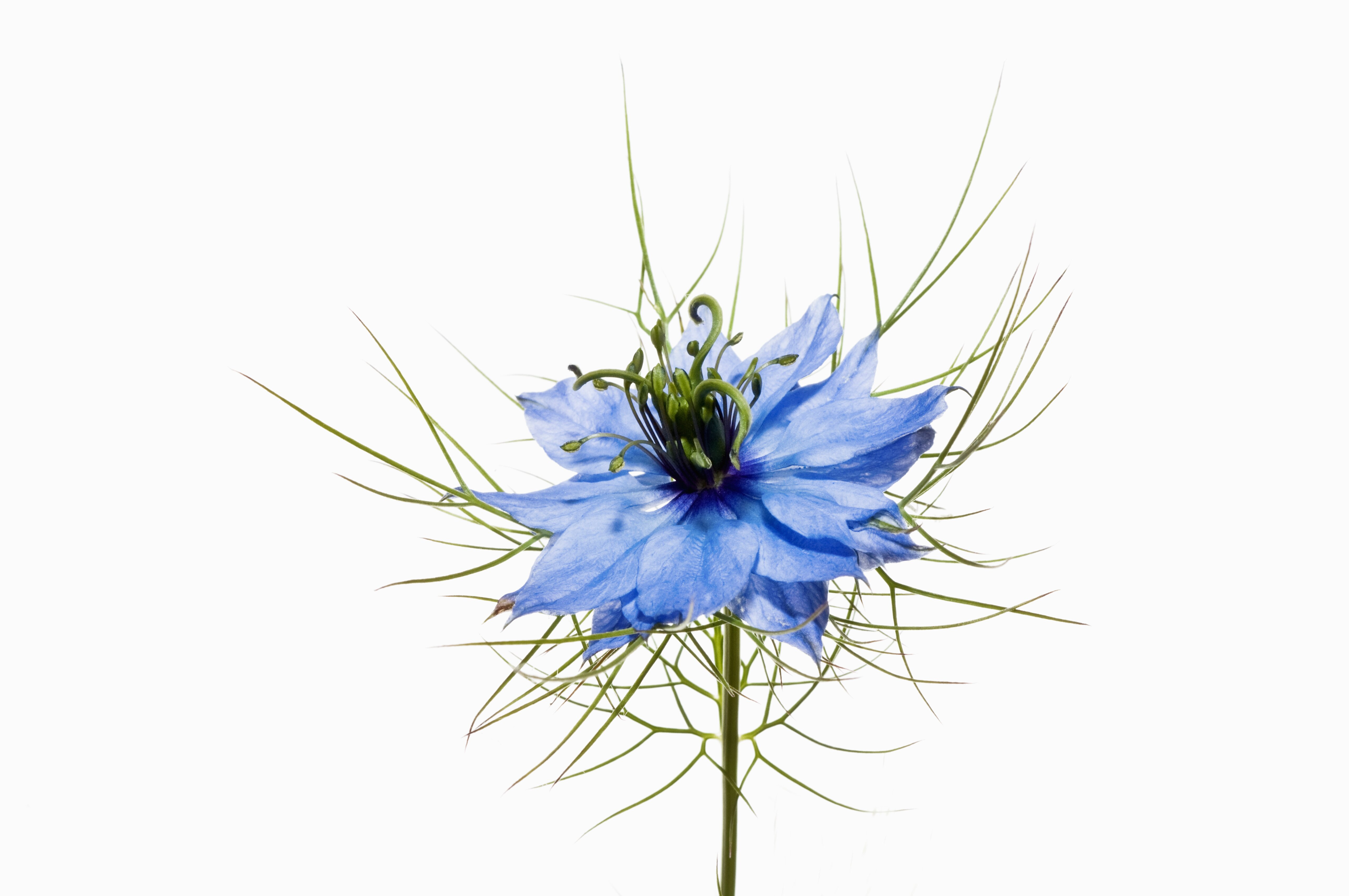 Love In A Mist Nigella Damascena Southern Living Southern Living