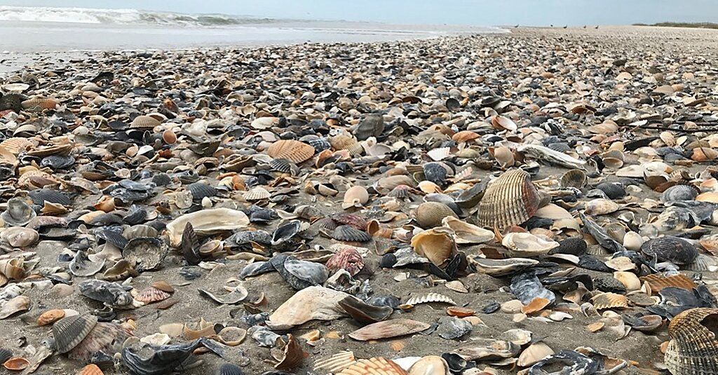 Giant Waves from Hurricane Teddy Blanket Outer Banks Beaches in Seashells