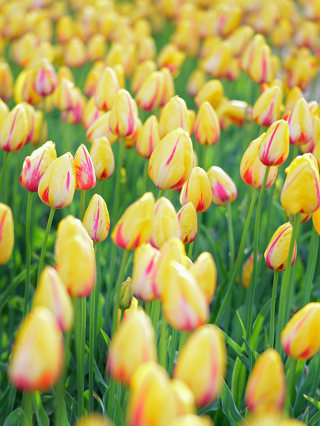10 Tips For Protecting Tulip Bulbs Better Homes Gardens