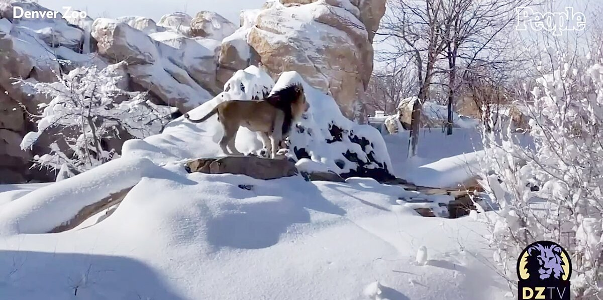 Denver Zoo Lions Play in Snow After Colorado Blizzard thumbnail