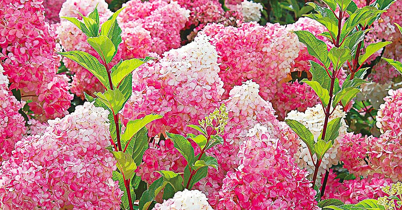 How to Grow Vanilla Strawberry Hydrangeas That'll Make the Neighbors Jealous