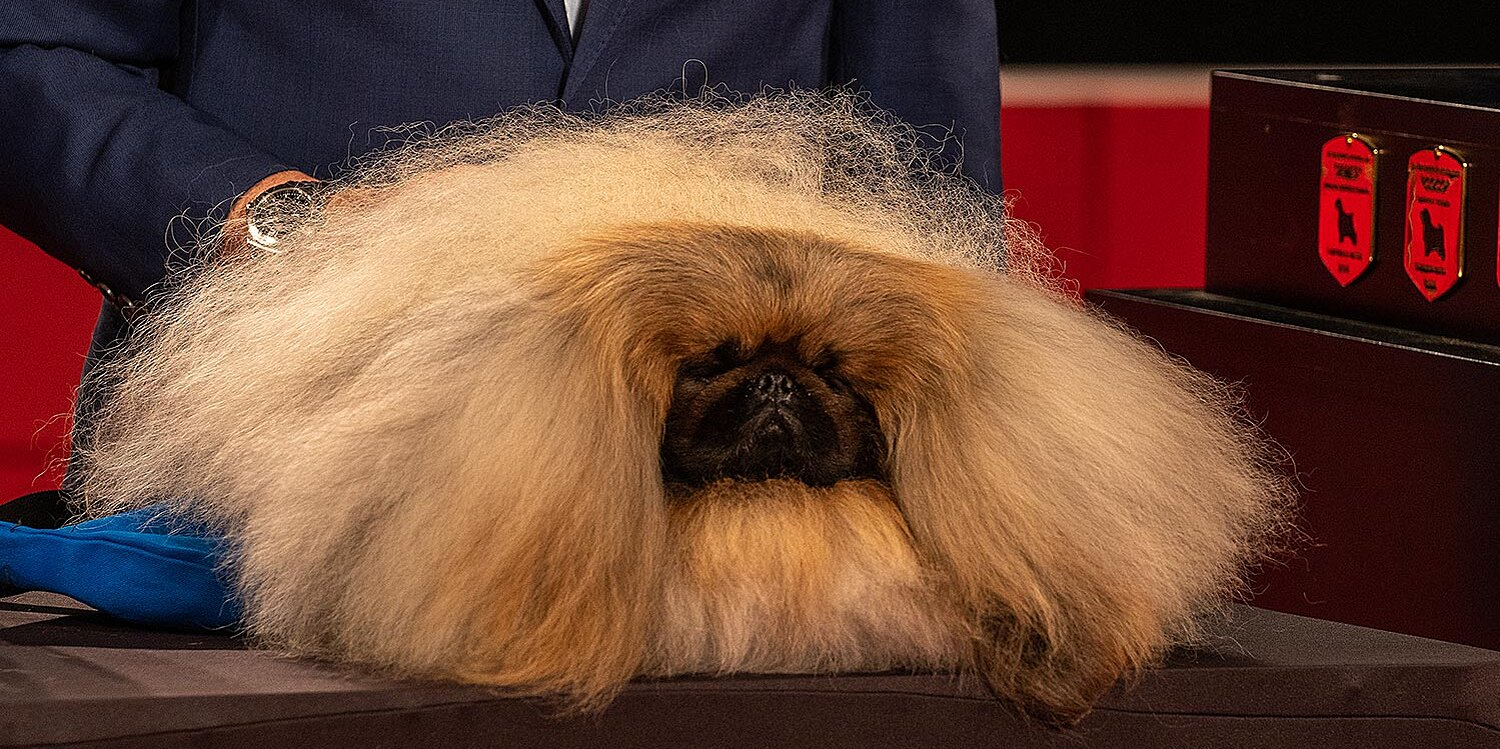 Wasabi the Pekingese Wins Best in Show at the 2021 Westminster Dog Show