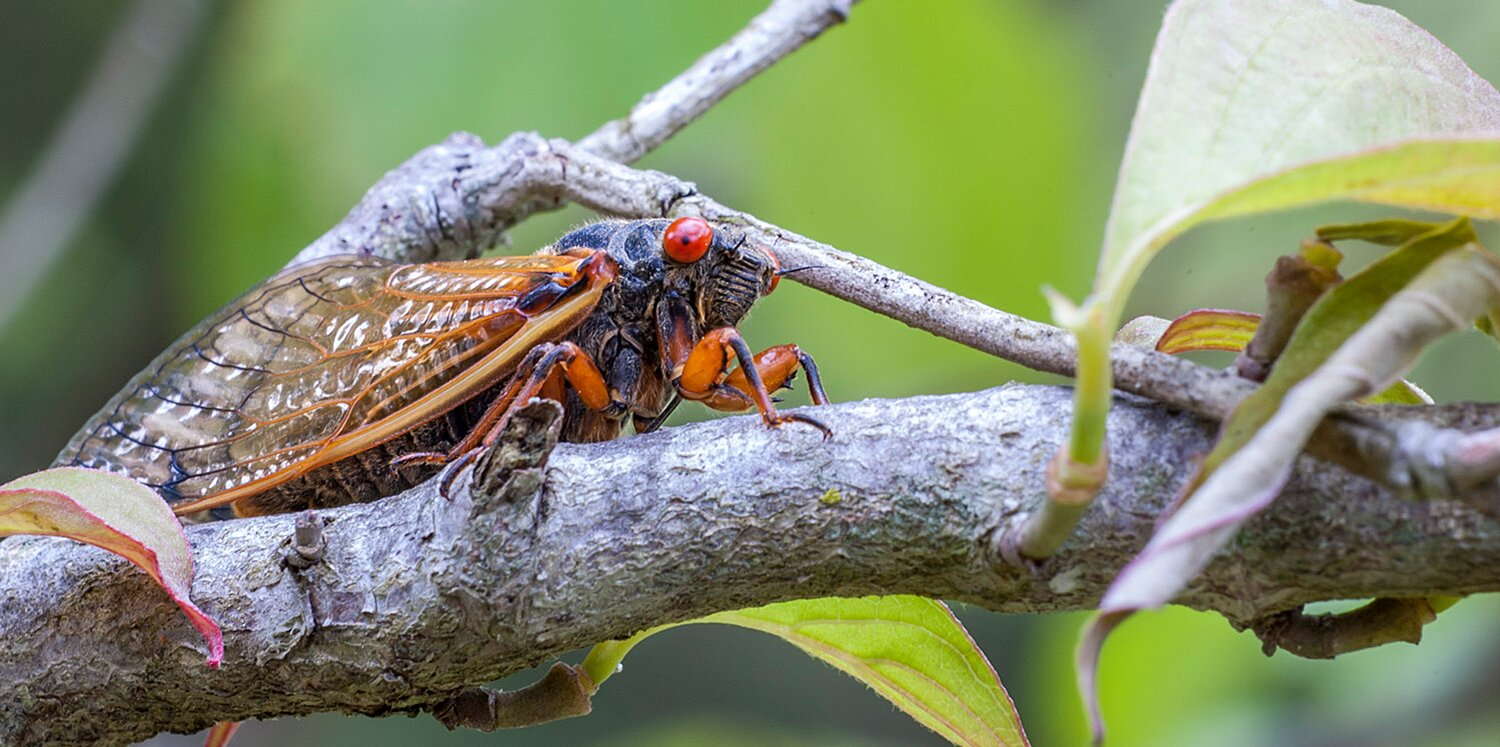 Cicadas Living Underground for Past 17 Years to Emerge in Parts of Eastern U.S. and Illinois This Summer