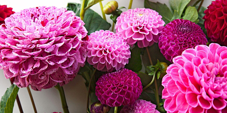 How to Plant, Grow and Care for Dahlias