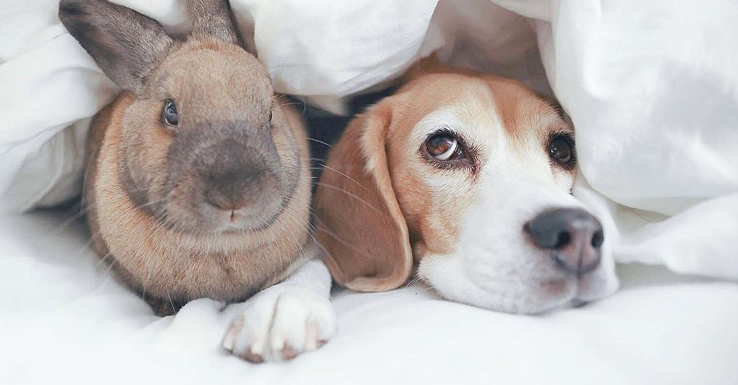 Bunny and Beagle Best Friends Love to 'Cuddle Together' and Explore the World Side By Side