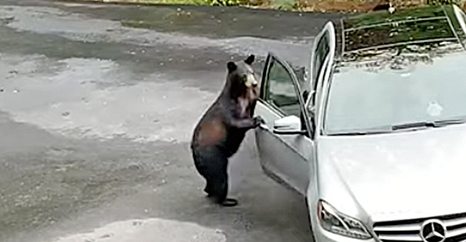 Bear Attempts to Break Into Mercedes, But Owners Scream So Loud They Scare It Off