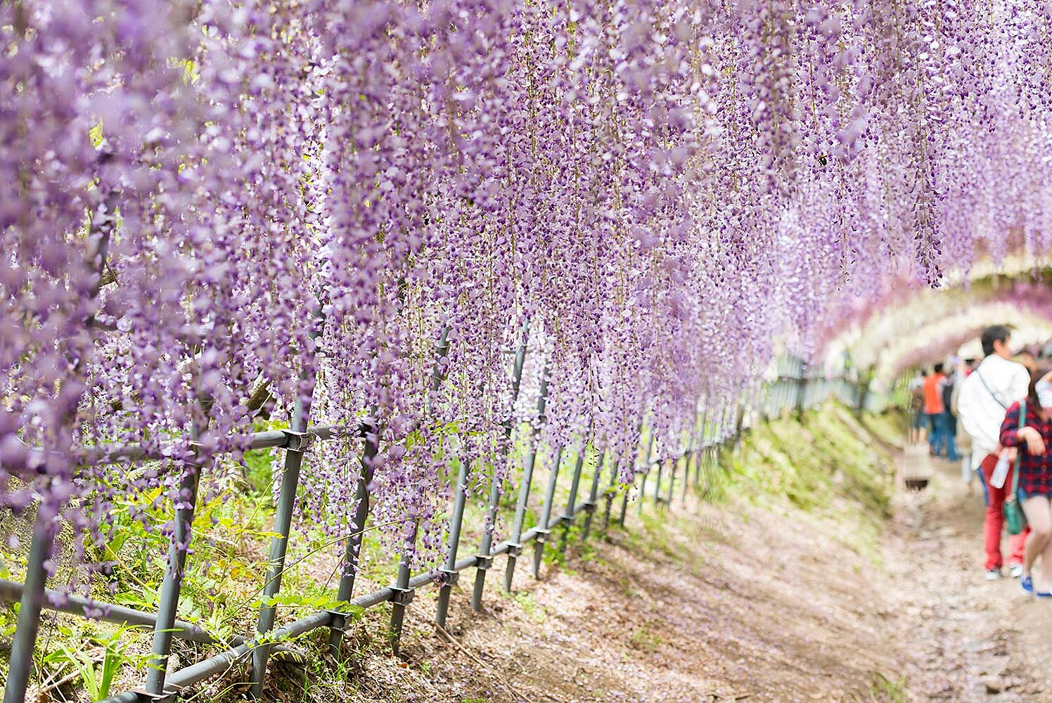 Take A Walk Through Japan S Magical Wisteria Tunnels Travel