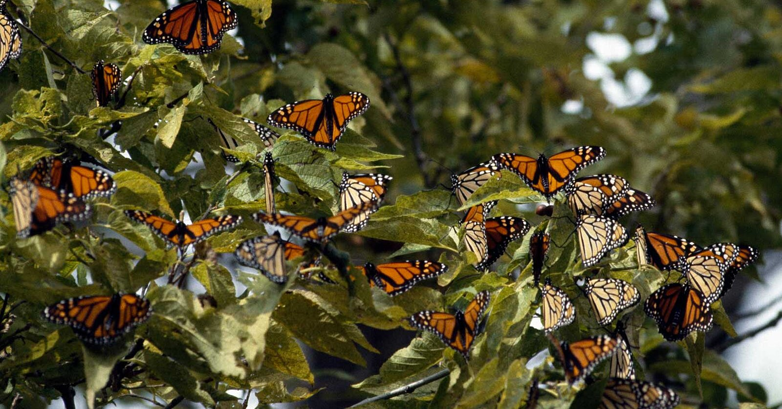You Can See Thousands of Monarch Butterflies at This National Park in Canada