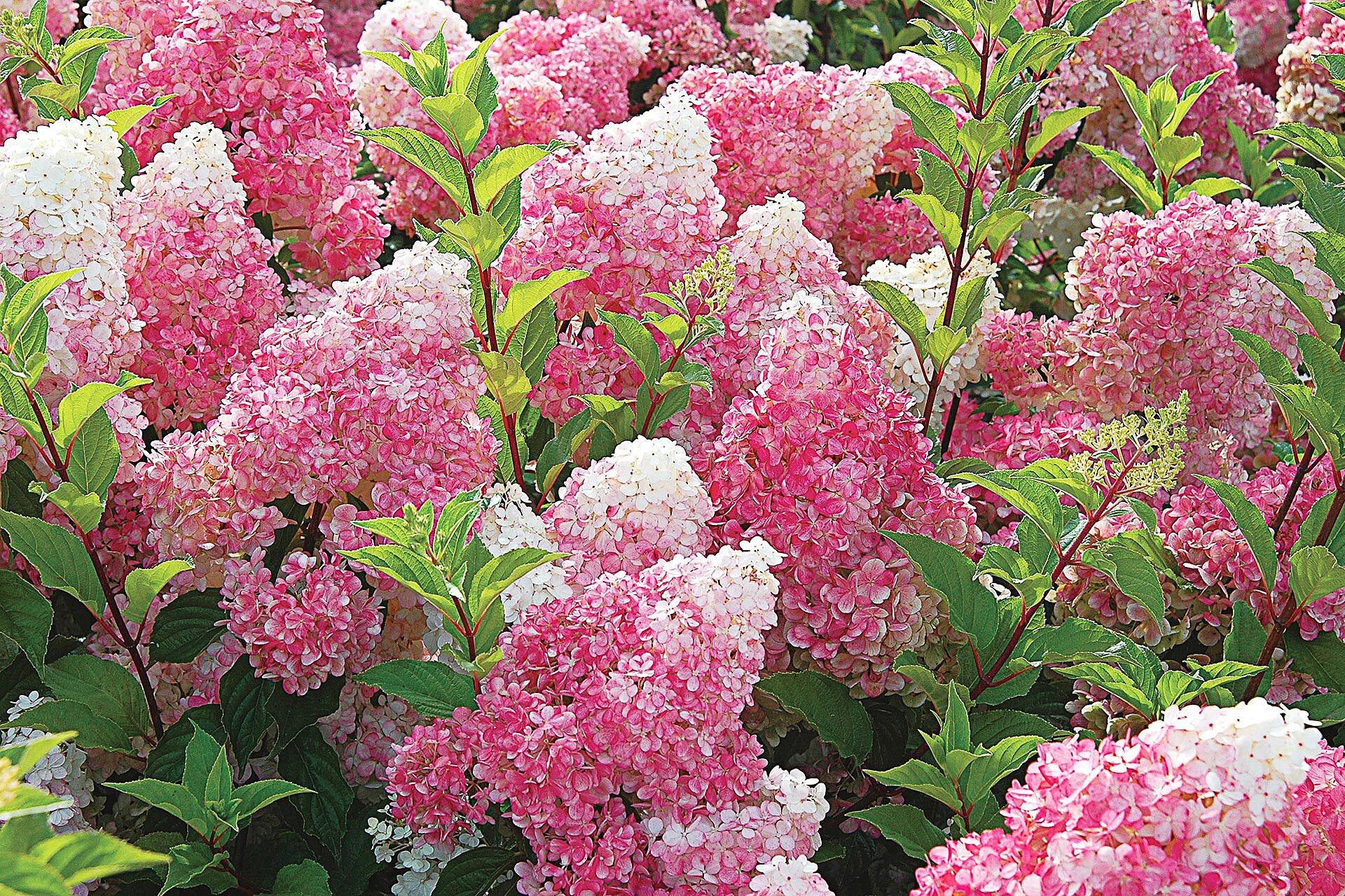 Growing Guide For Vanilla Strawberry Hydrangea Better Homes