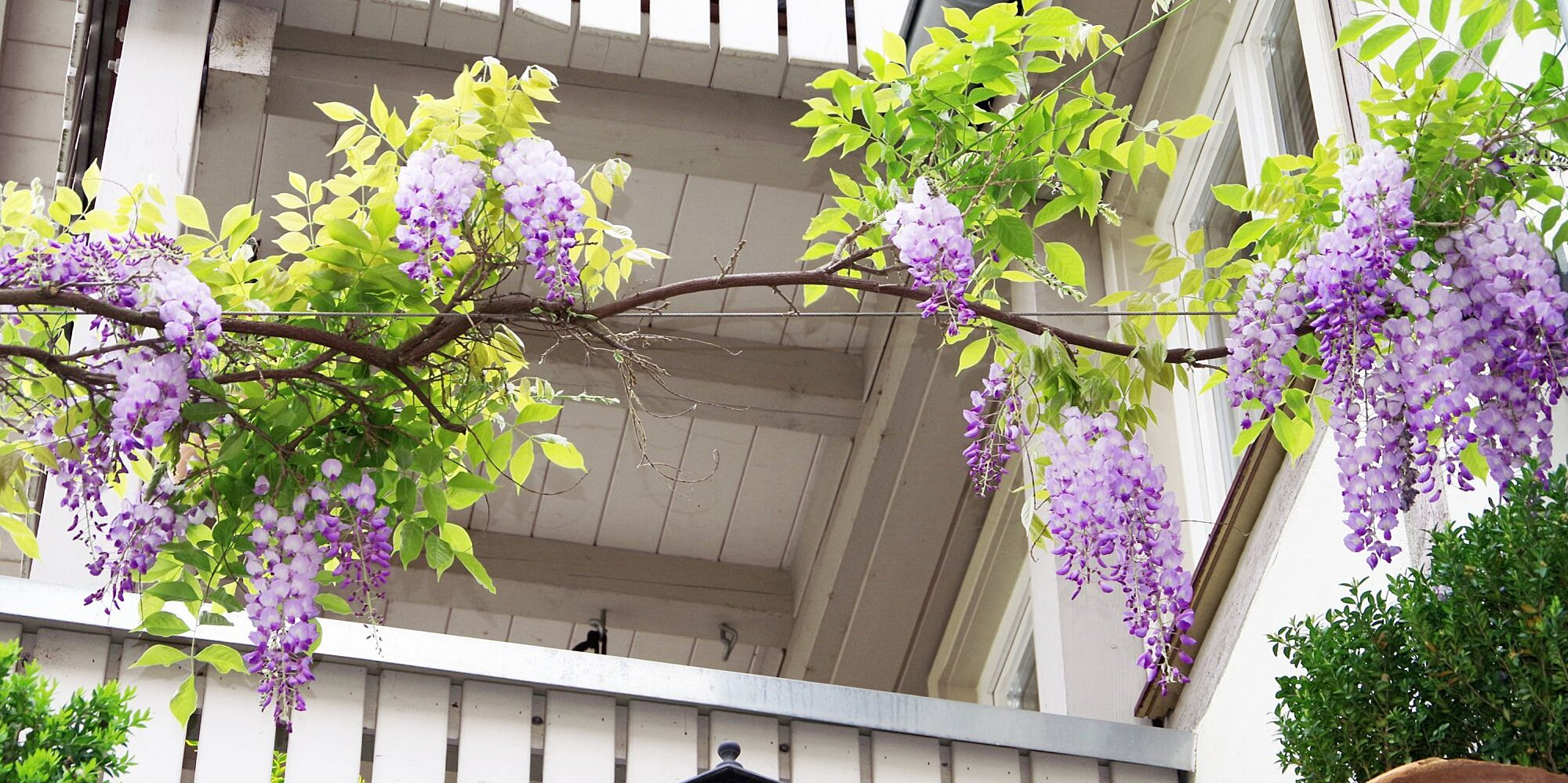 10 Flowering Vines to Add Beauty (and Privacy) to Your Backyard