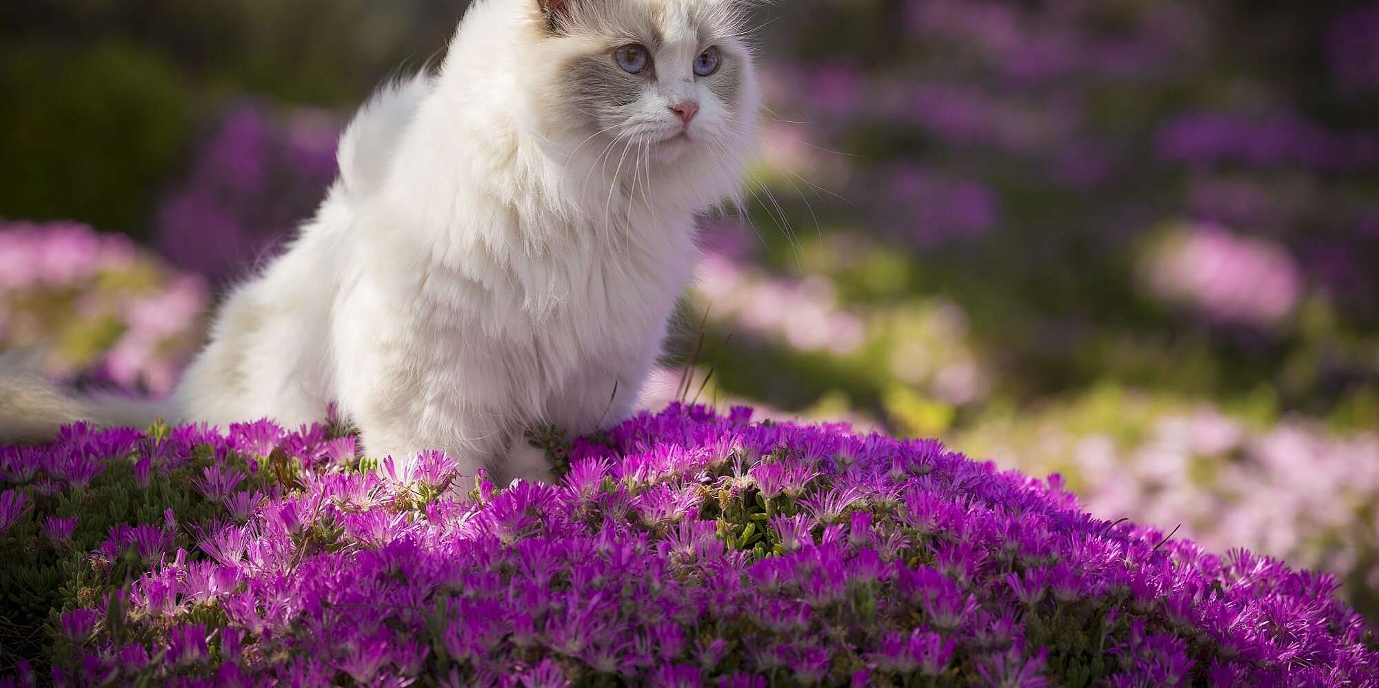 12 Cat Breeds That Are Perfect for People Who Love Dogs