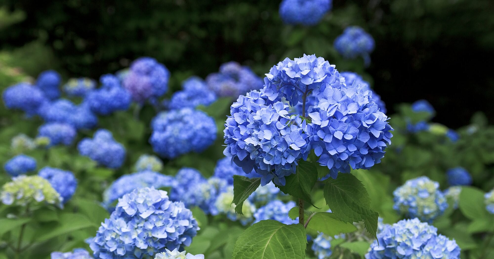 What to Do If Your Hydrangeas Aren't Blooming